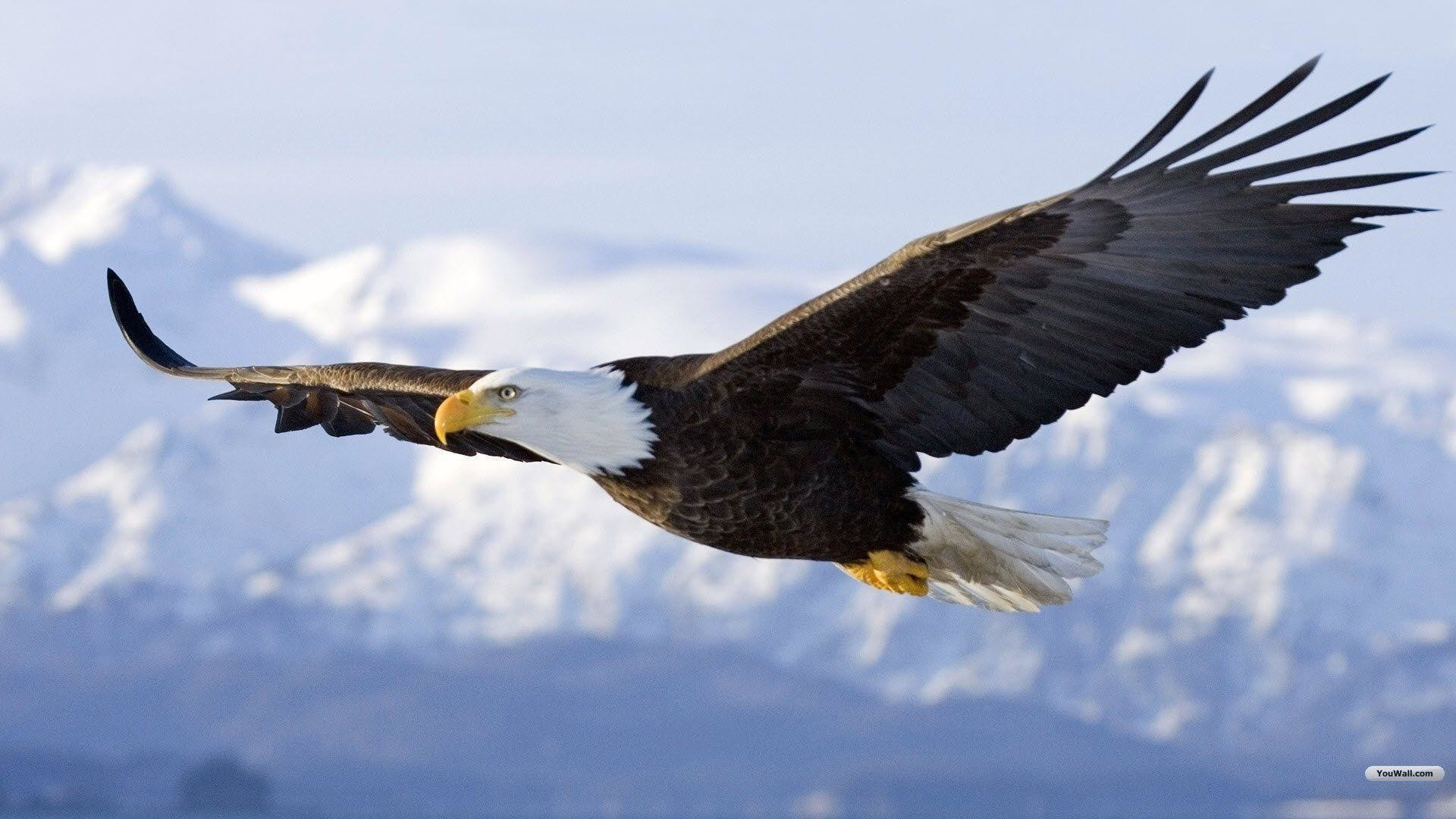Flying Eagle Wallpaper 58 Pictures