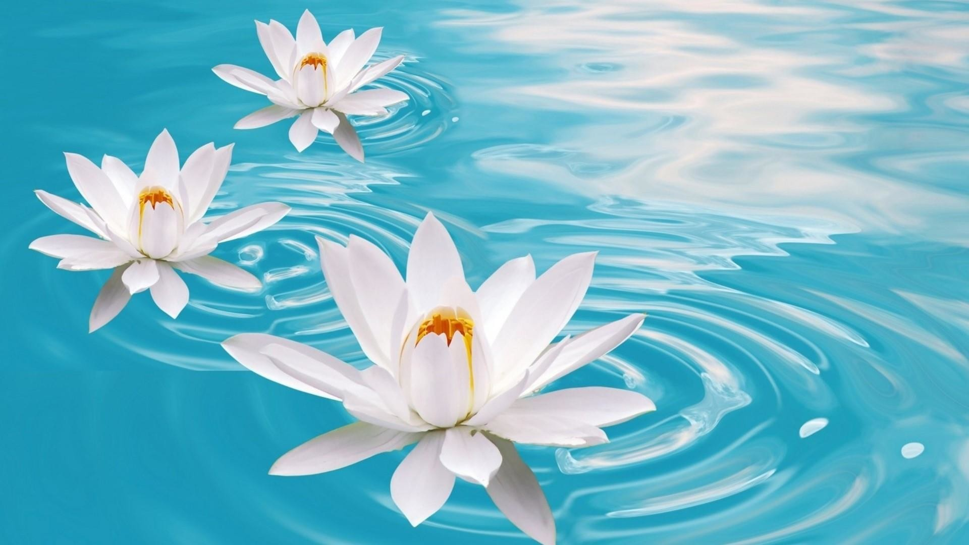 Water Lily Wallpaper 69 Pictures