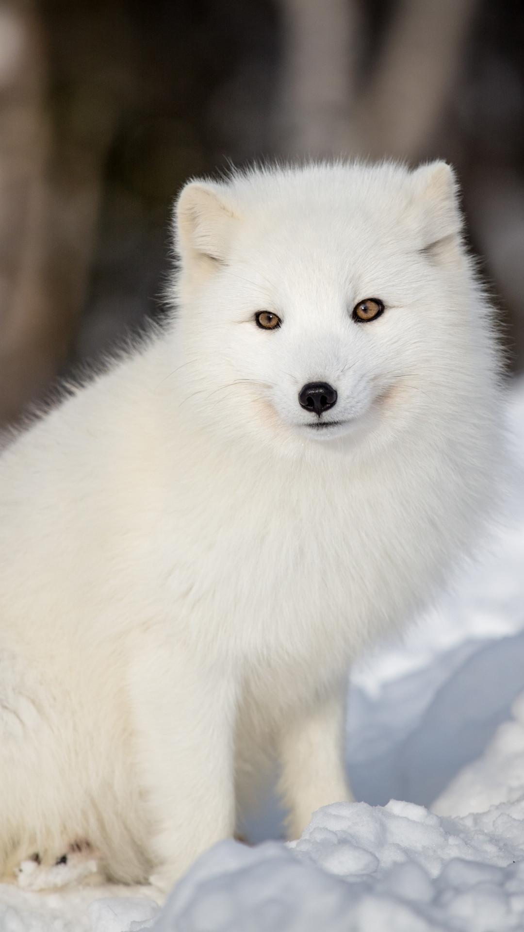 Arctic Fox Wallpaper 74 Pictures