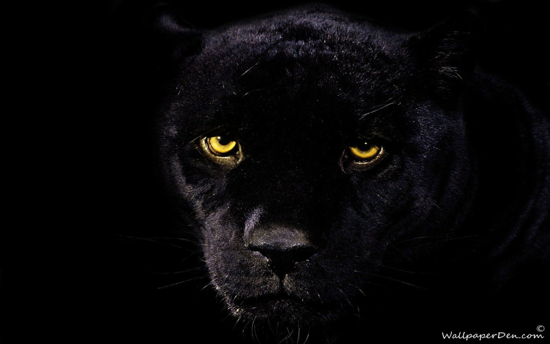 Black Jaguar Wallpaper 62 Pictures