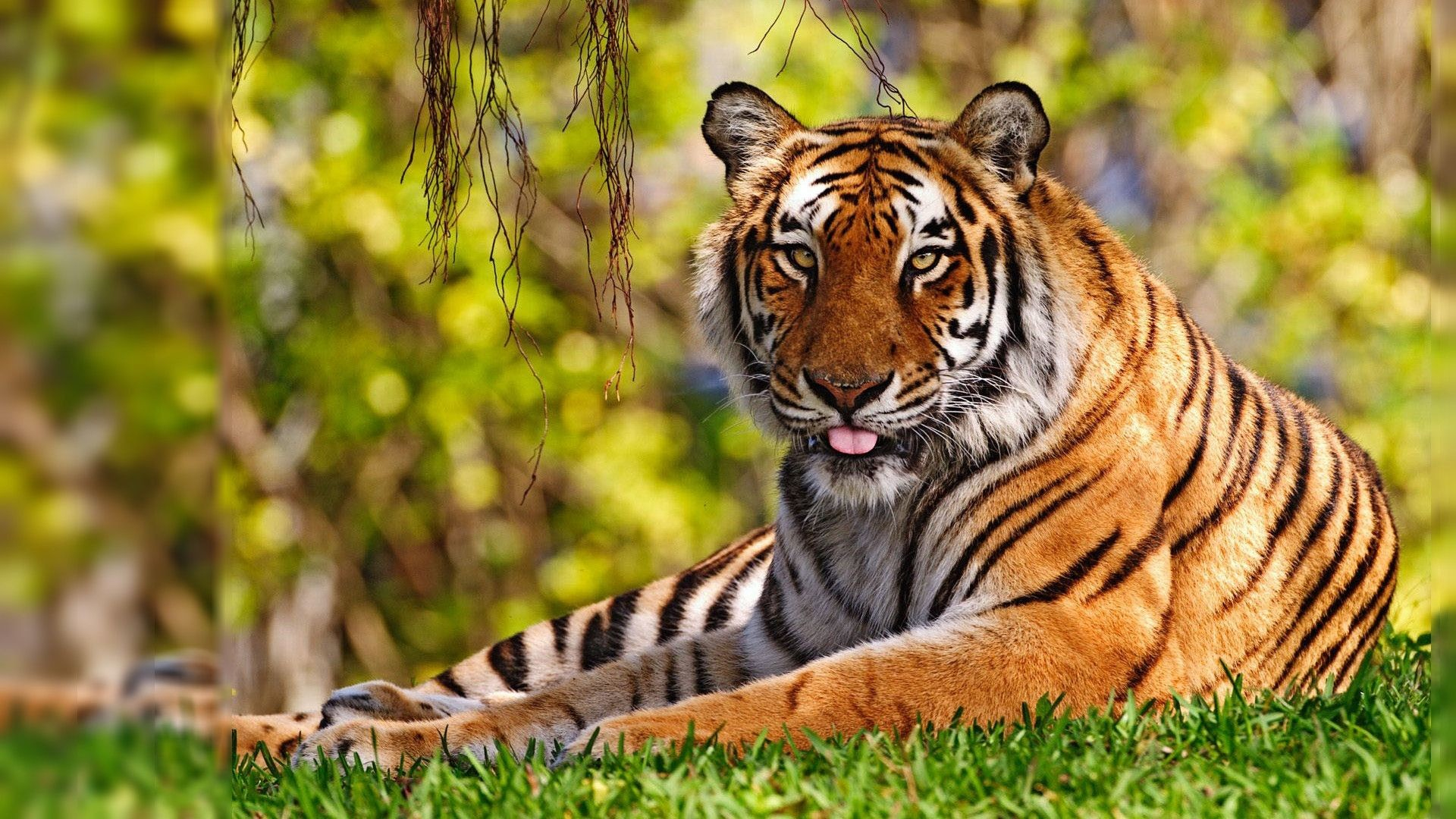 Tiger Wallpapers For Desktop 60 Pictures