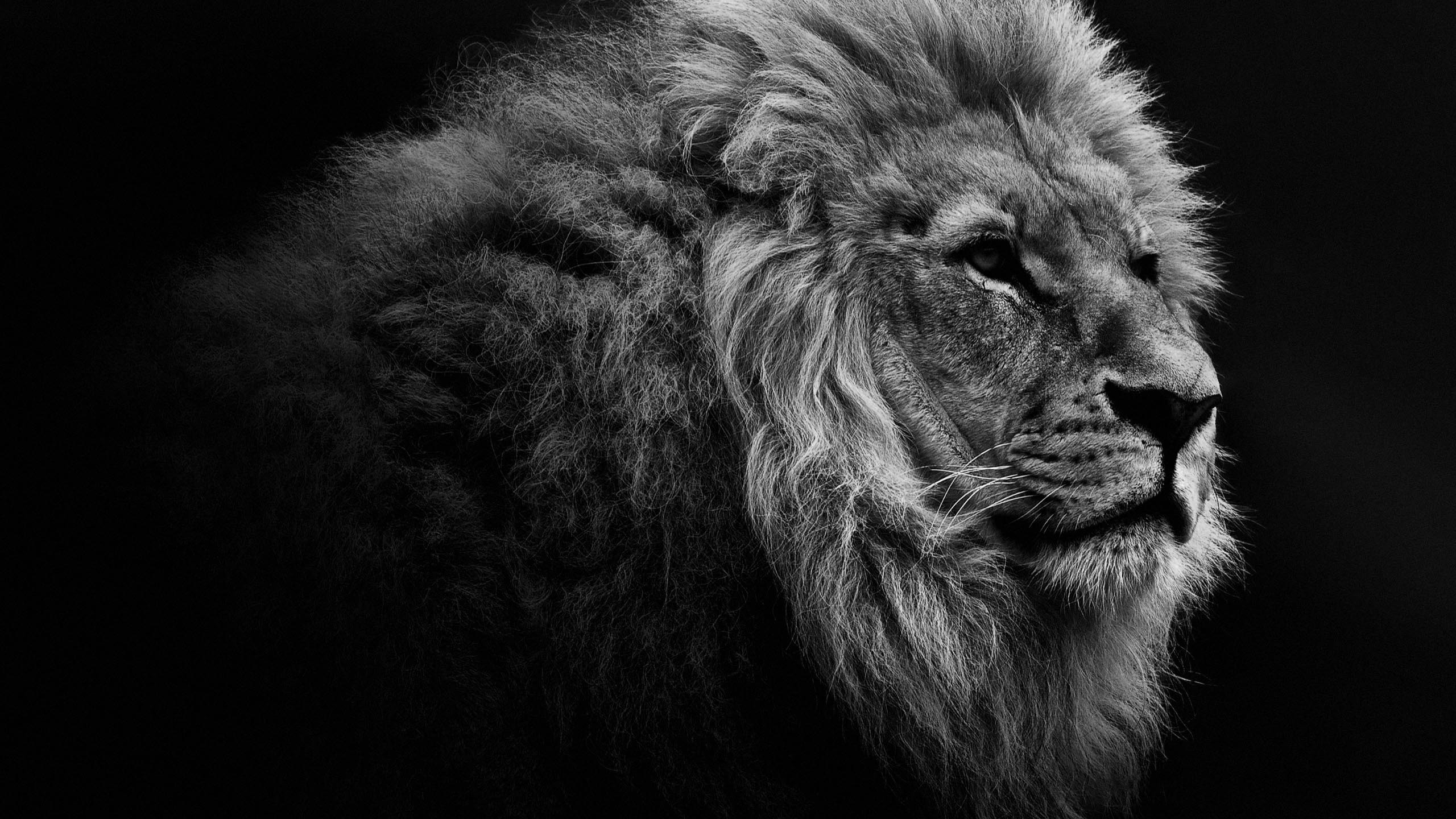 Lion Wallpaper Desktop 64 Pictures