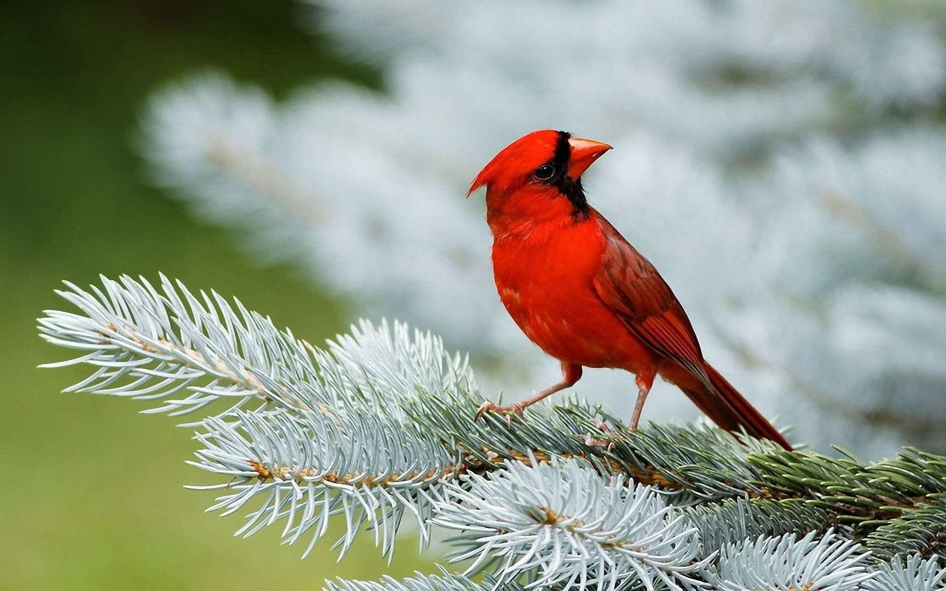 Cardinal Bird Wallpaper 52 Pictures