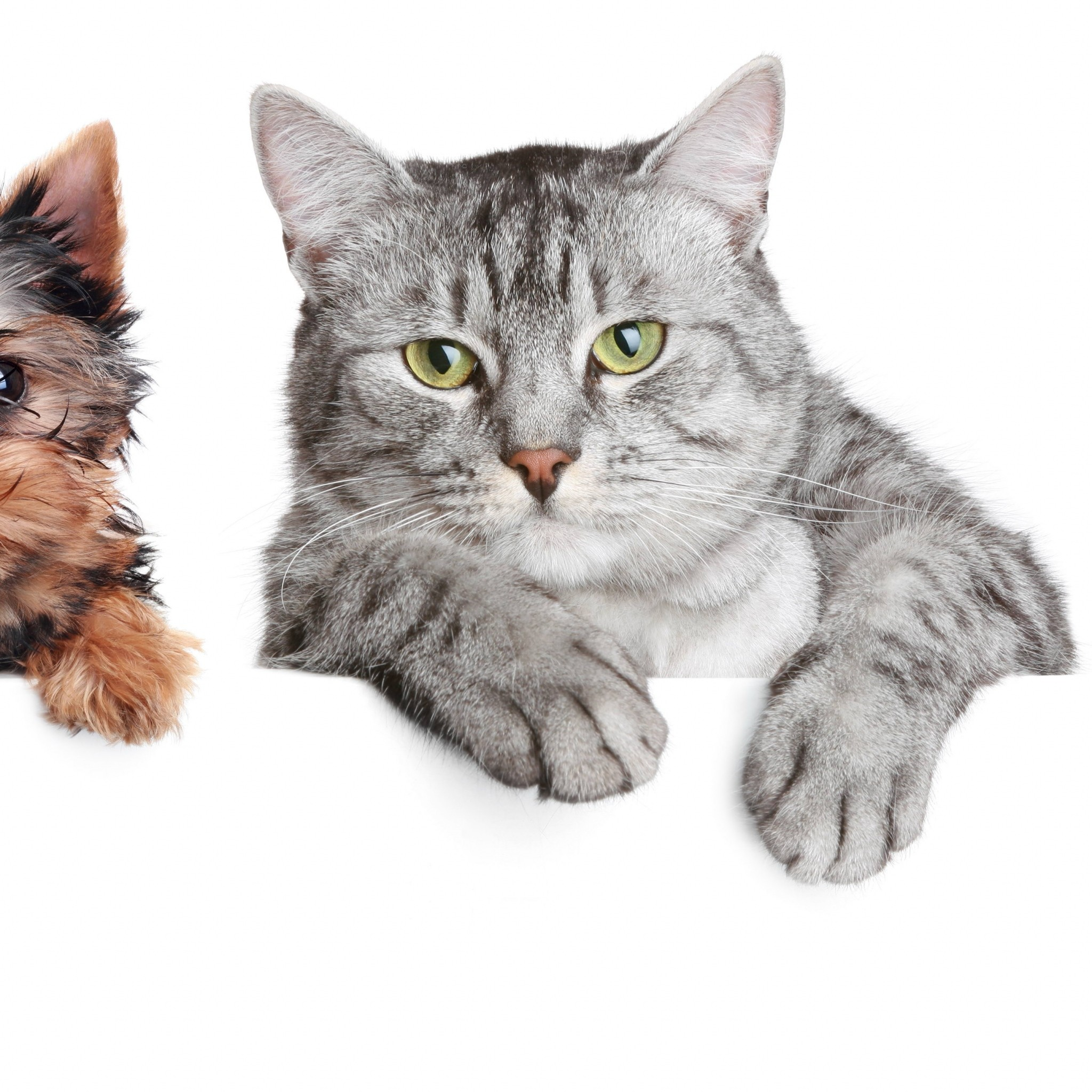 Cat White Background (51+ Pictures