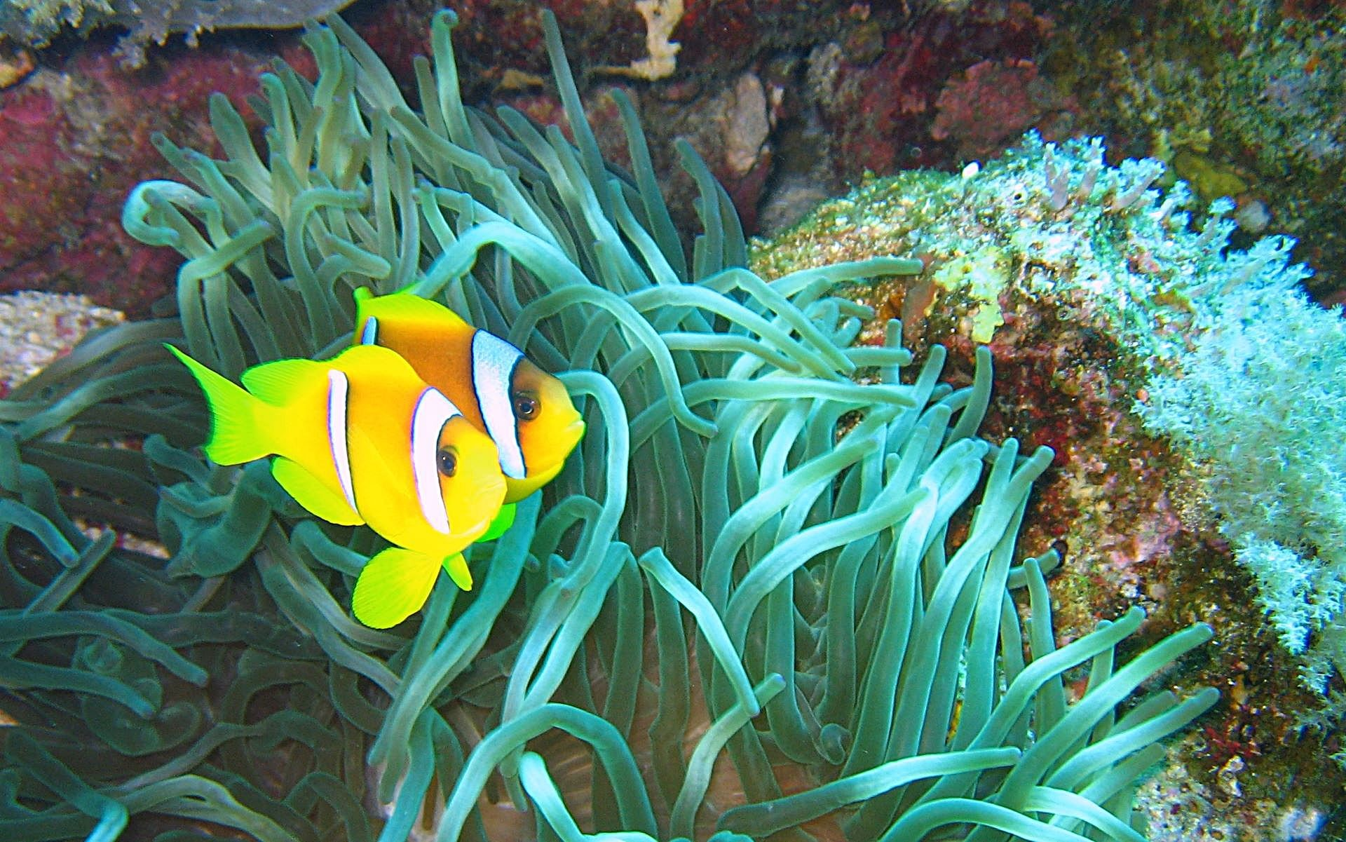 Clown Fish Wallpaper 61 Pictures