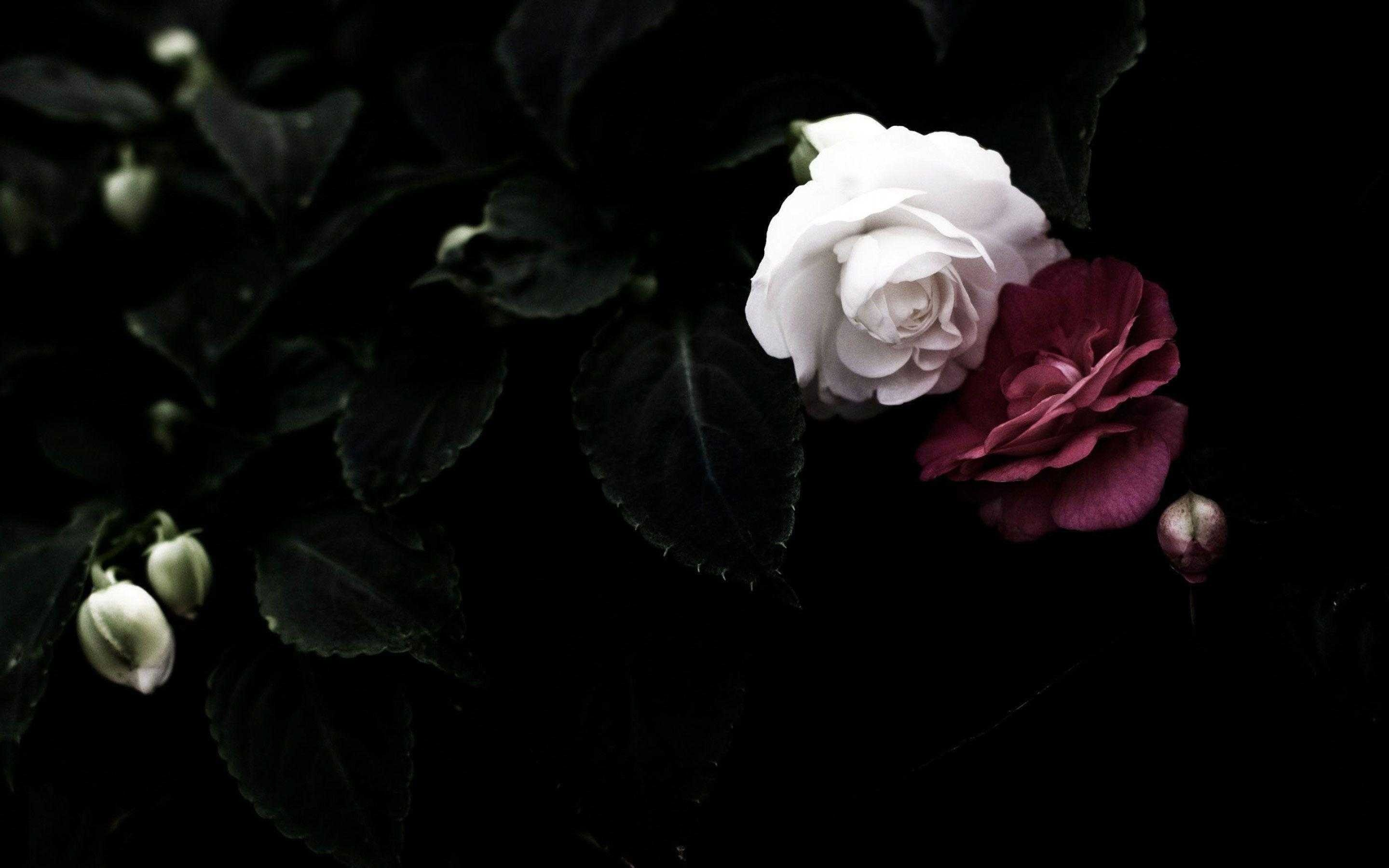 Black Rose Background 52 Pictures