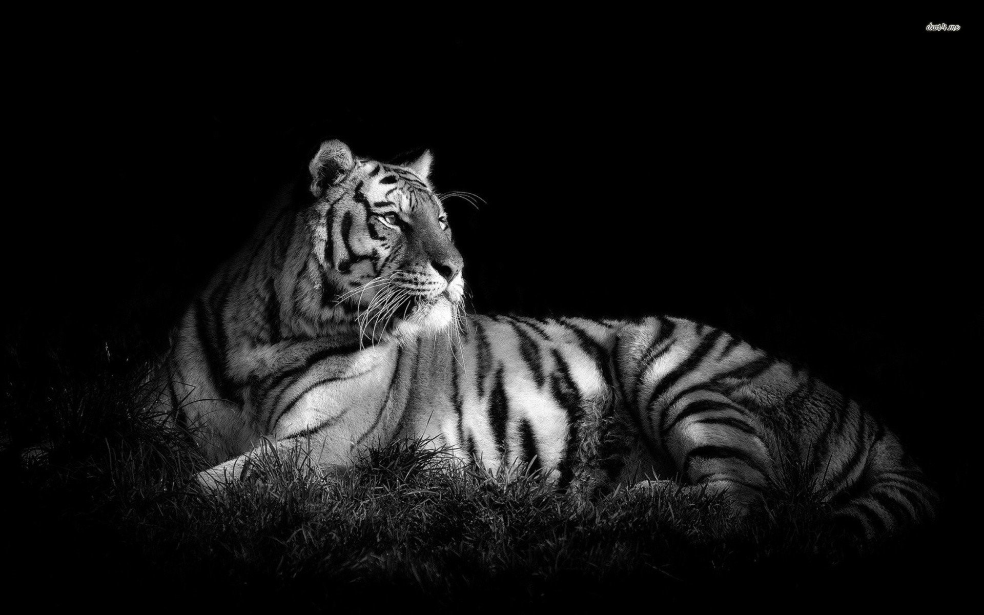 White Tiger Wallpaper HD (59+ pictures)