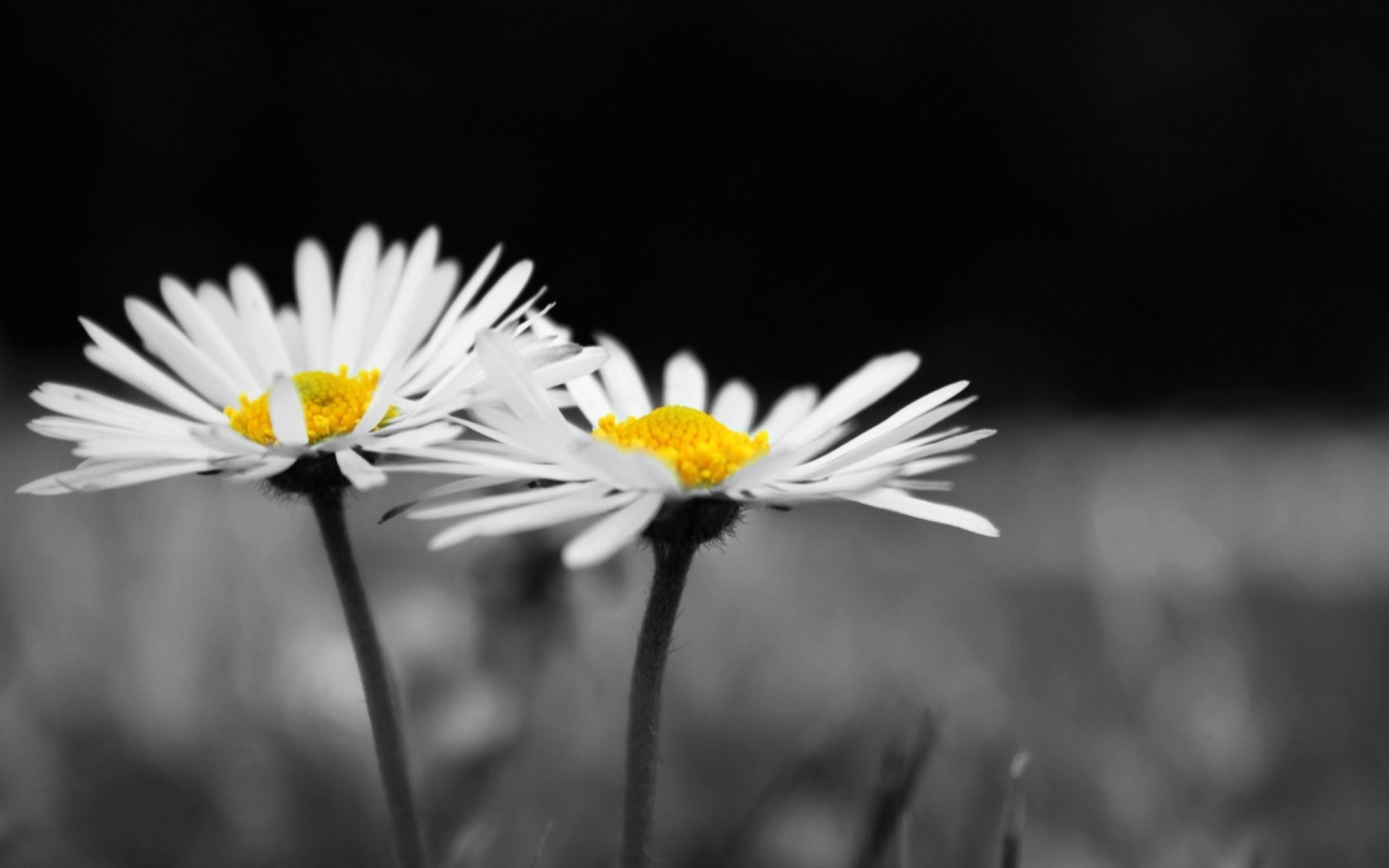 Daisy Wallpaper Background 67 Pictures