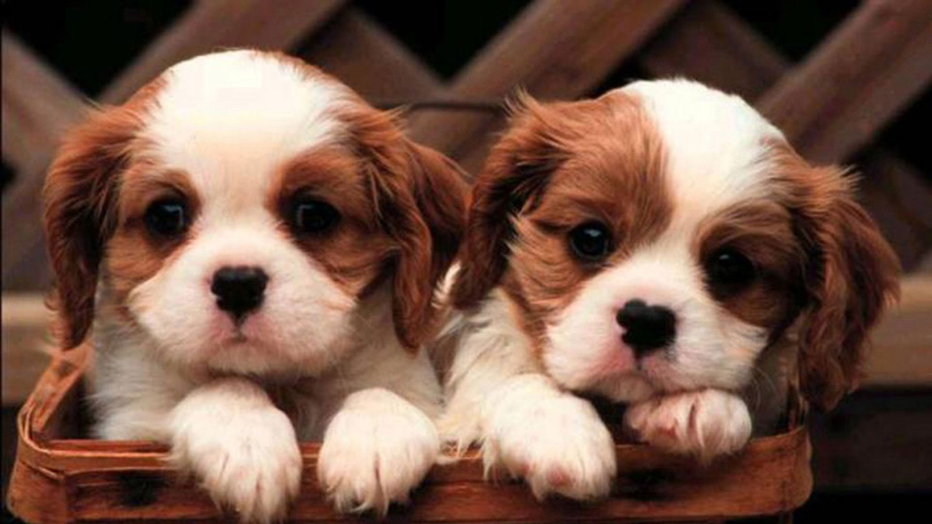 1920x1200 1920x1200 2 dog Wallpapers - Download free 2 dog cute puppies wallpapers .