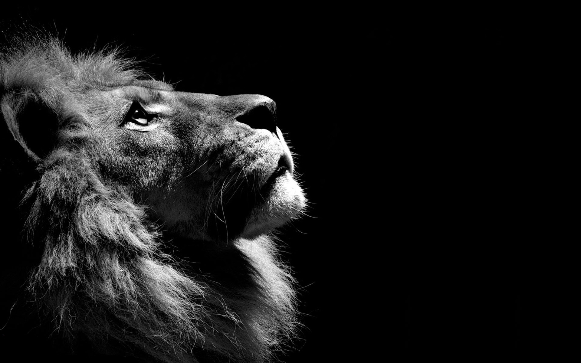 Lion Wallpaper Desktop 64 Pictures