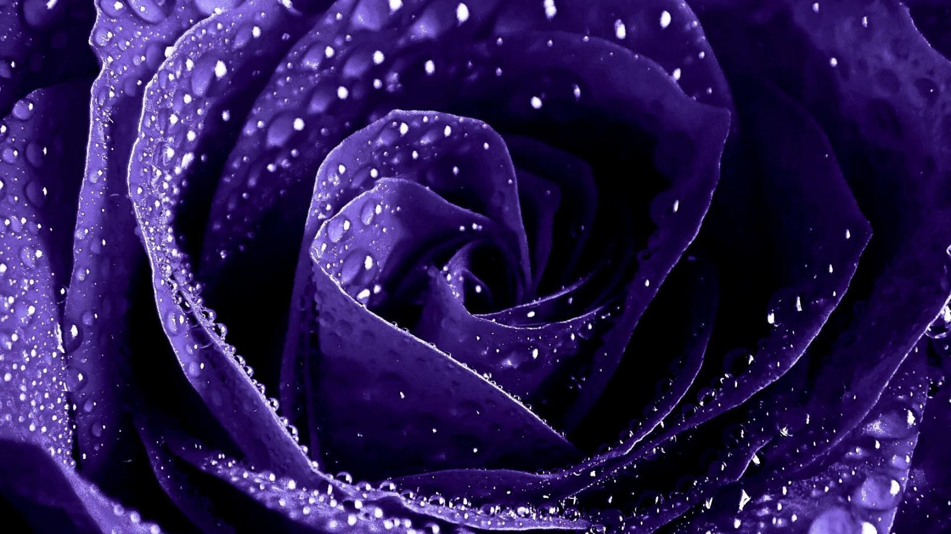 Purple Rose Background (52+ pictures)
