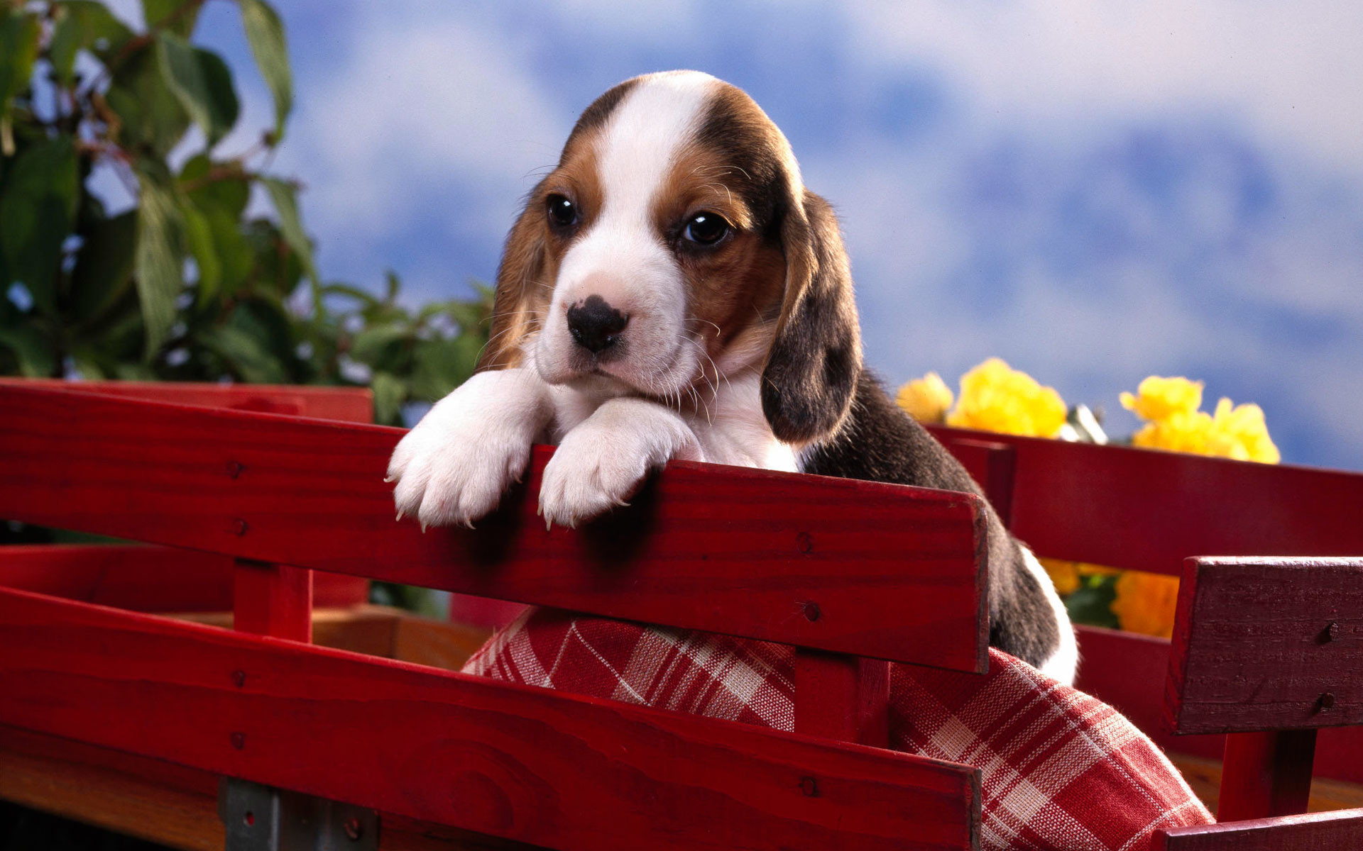 Beagle Puppy Wallpaper 59 Pictures
