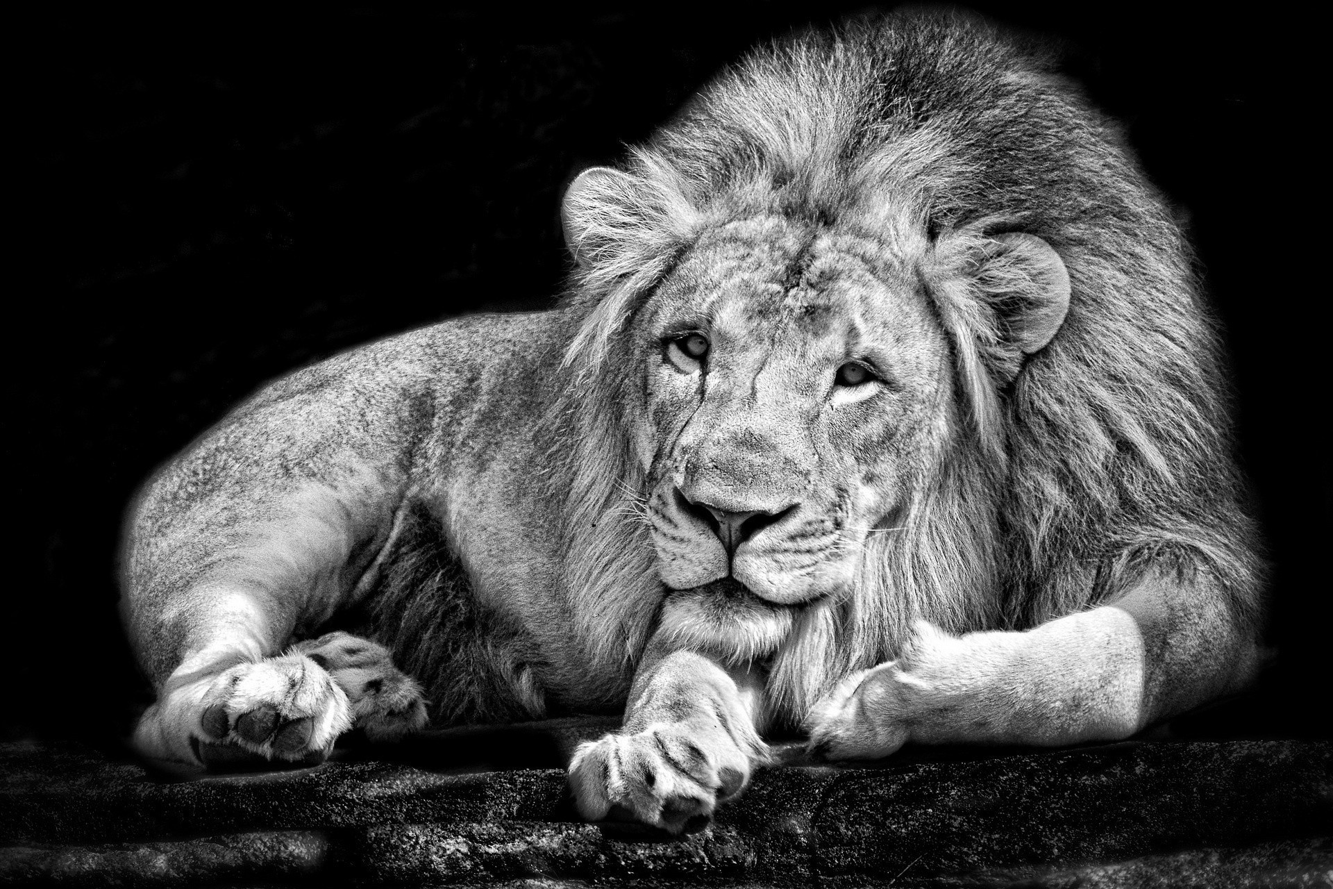 Animals Happy Lion Wallpapers Hd Desktop And Mobile: White Lion Wallpapers (63+ Pictures