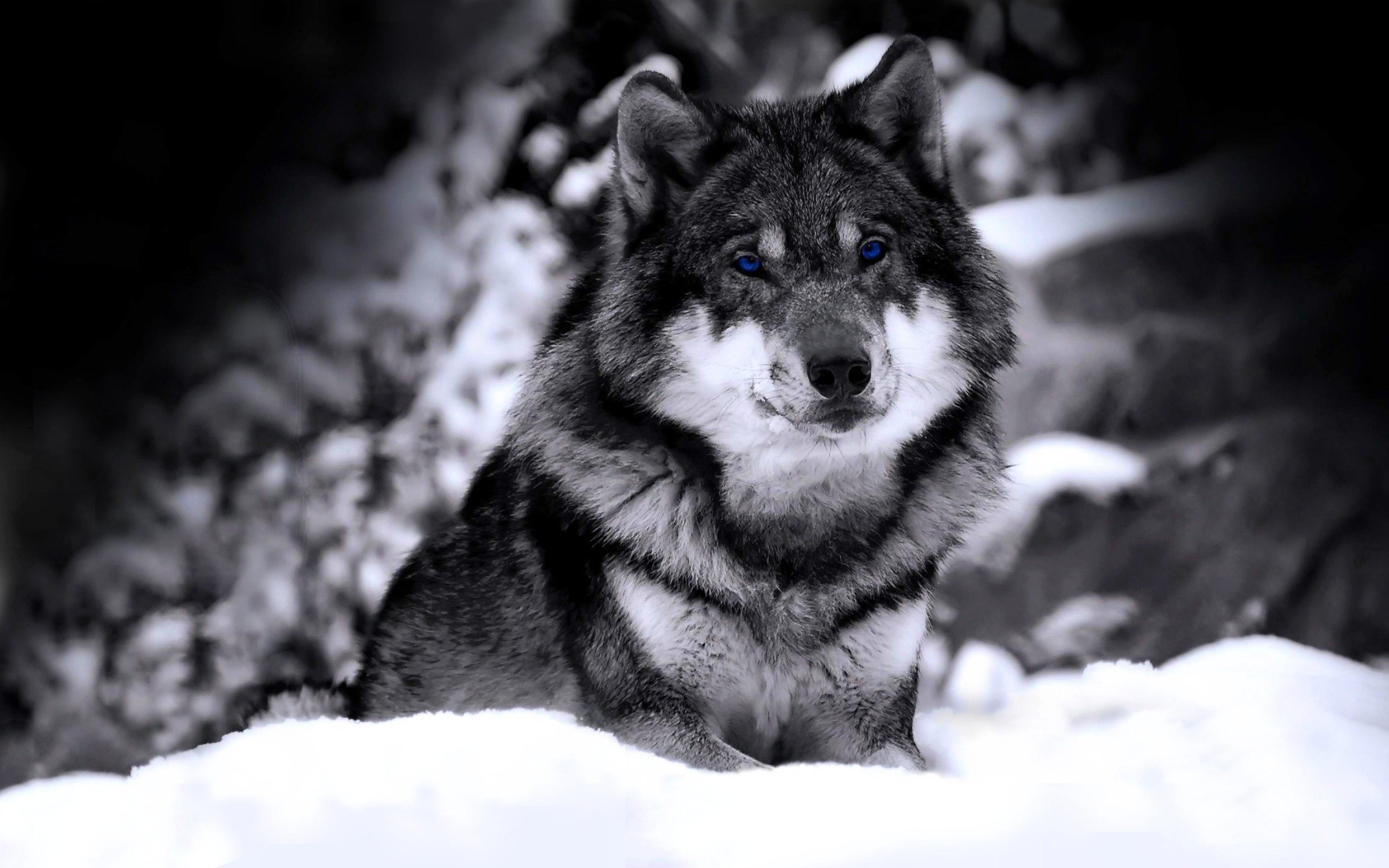 Wolf Desktop Backgrounds 67 Pictures