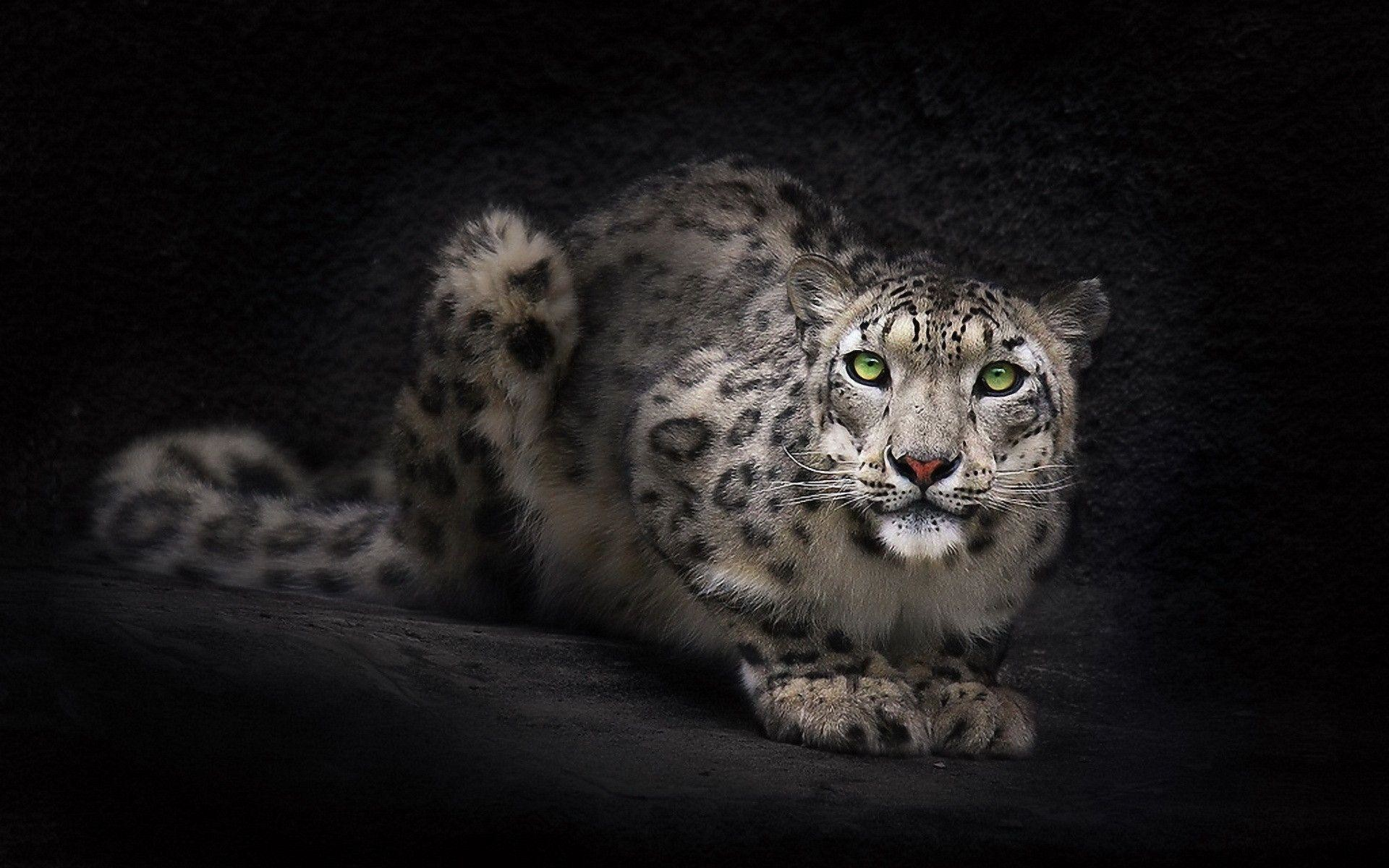 wild cat wallpapers (70+ pictures)
