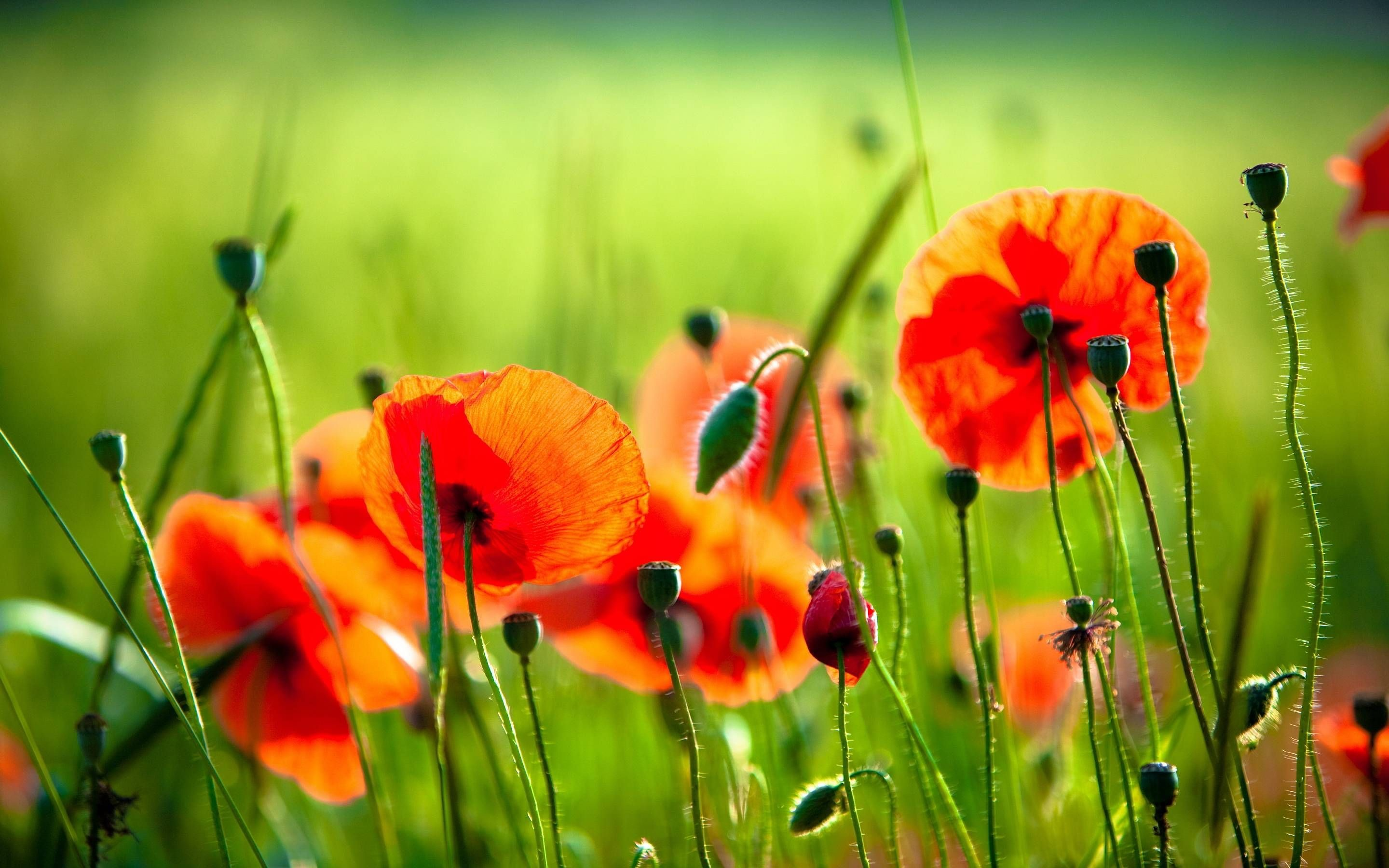 Poppies Wallpaper 75 Pictures