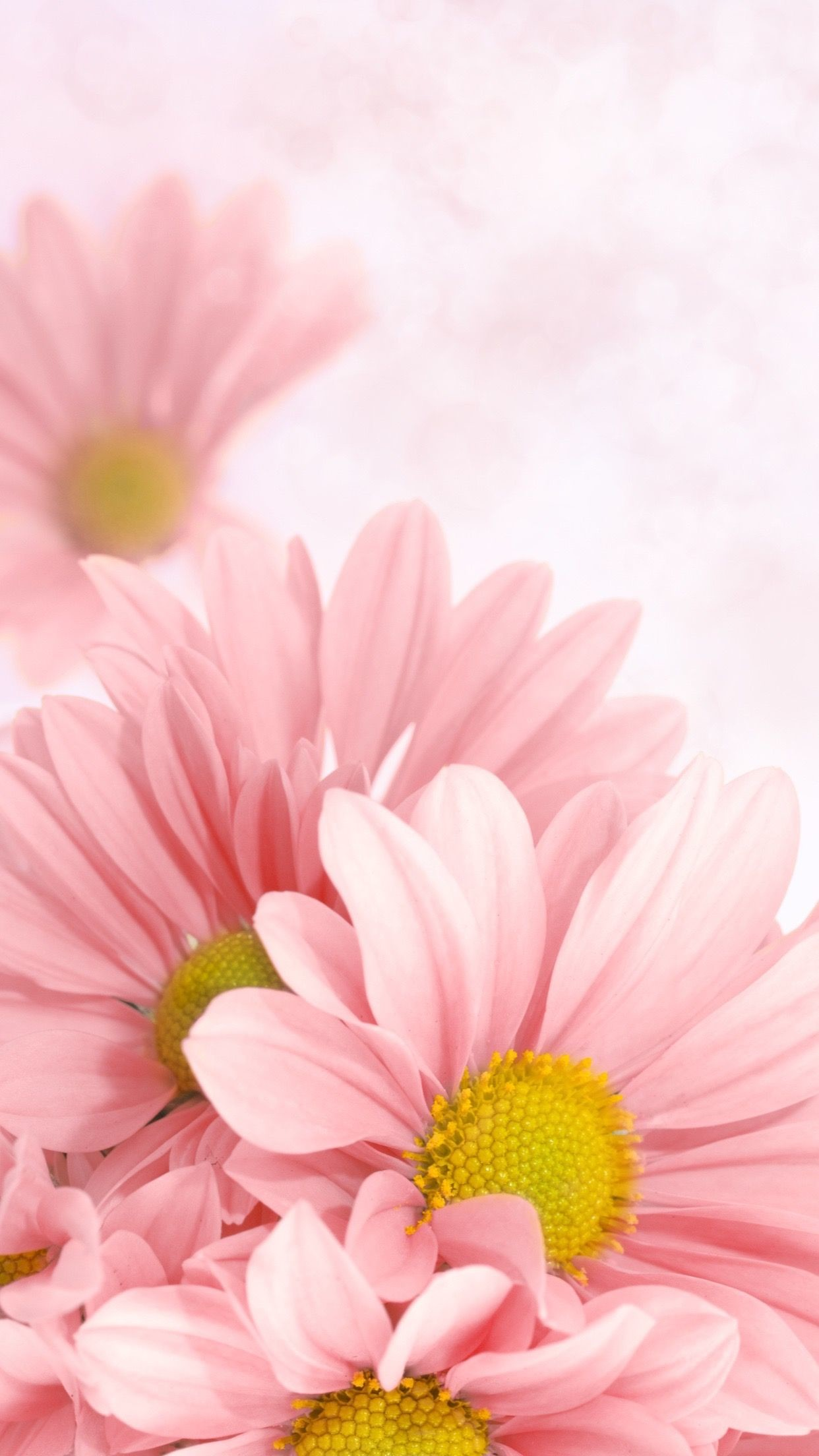 Pink Daisy Wallpaper 56 Pictures
