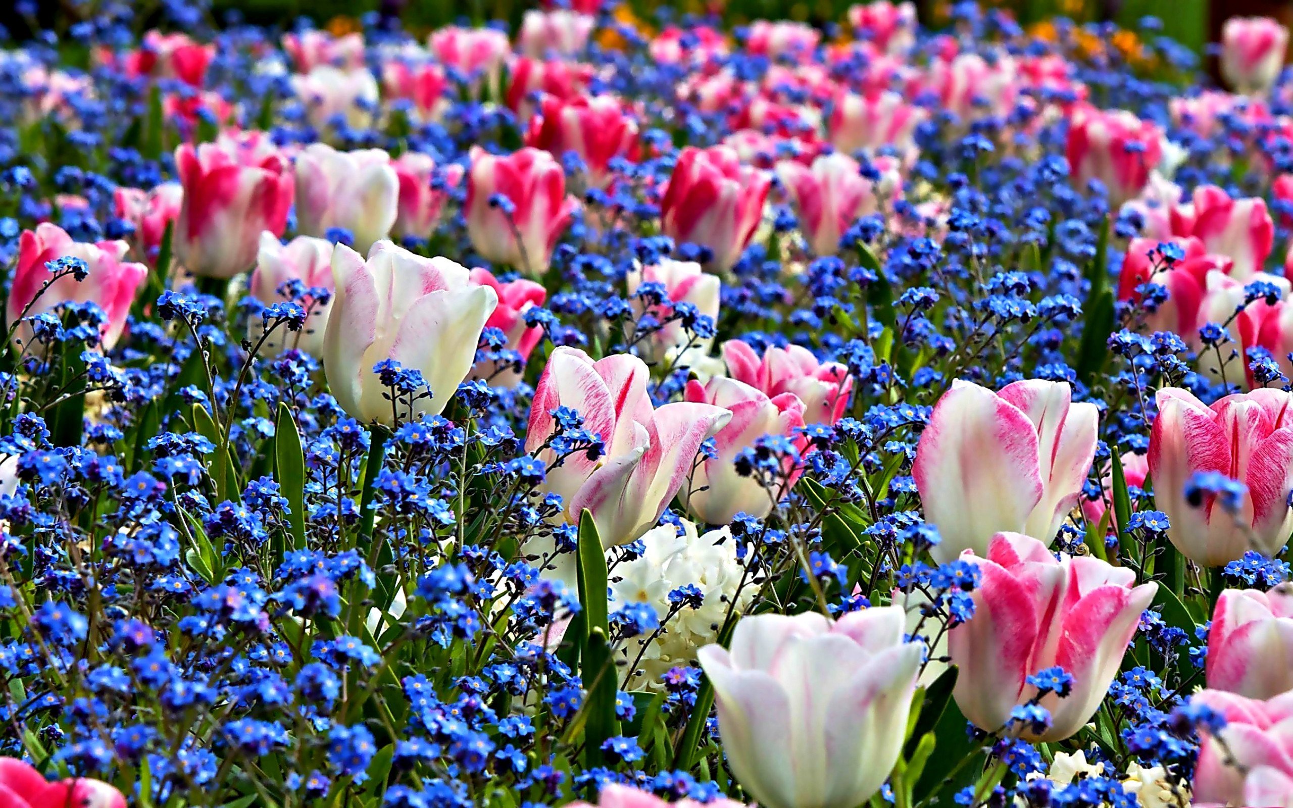Spring flowers background desktop 66 pictures 2560x1600 2560x1600 beautiful pink spring flowers wallpaper desktop background free mightylinksfo