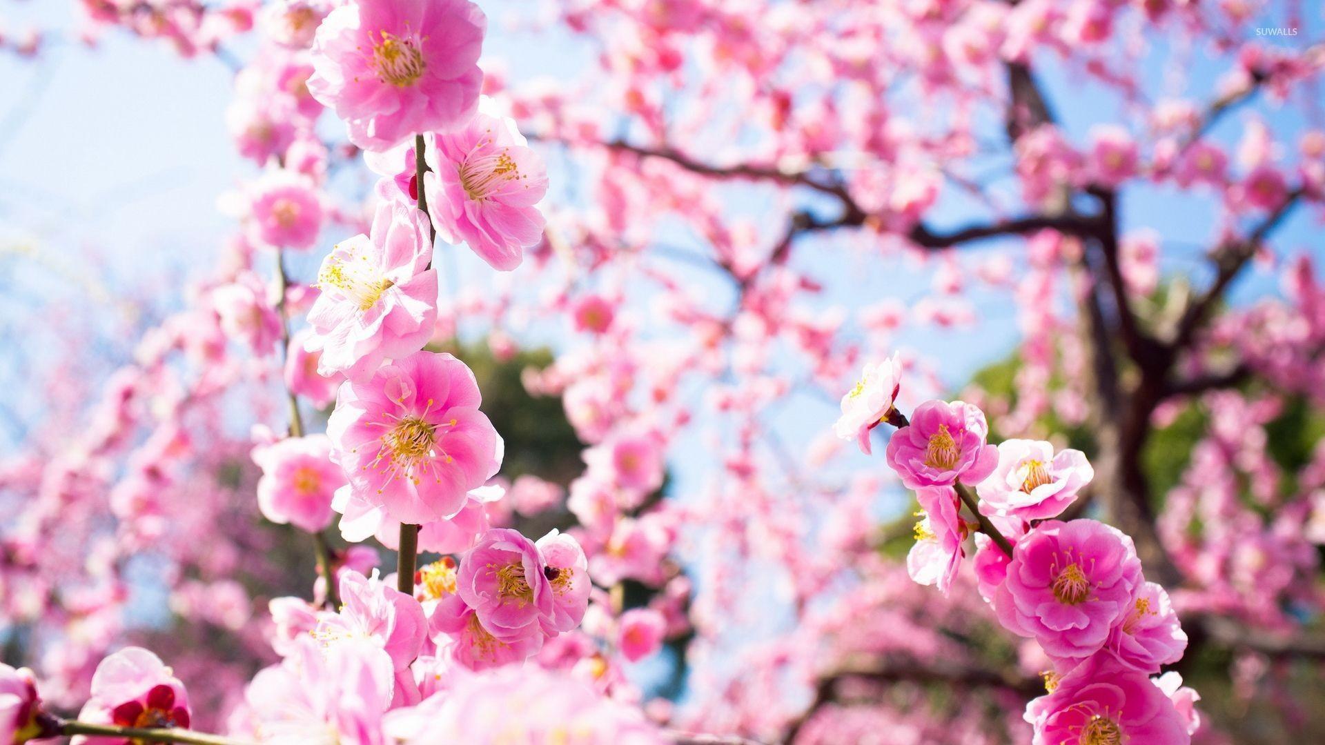 Light Pink Flower Wallpaper (58+ pictures)