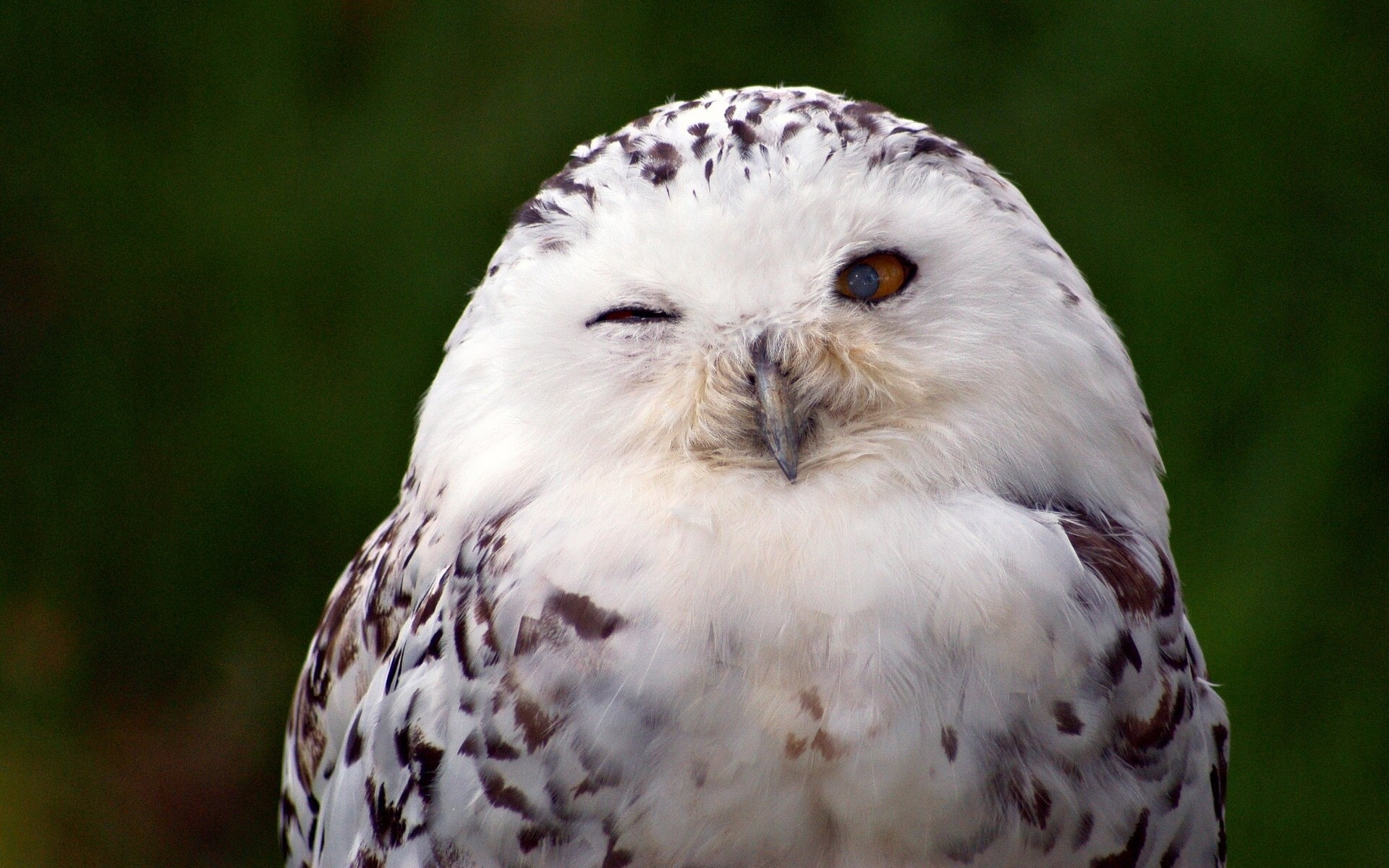 Snowy Owl Wallpaper 71 Pictures