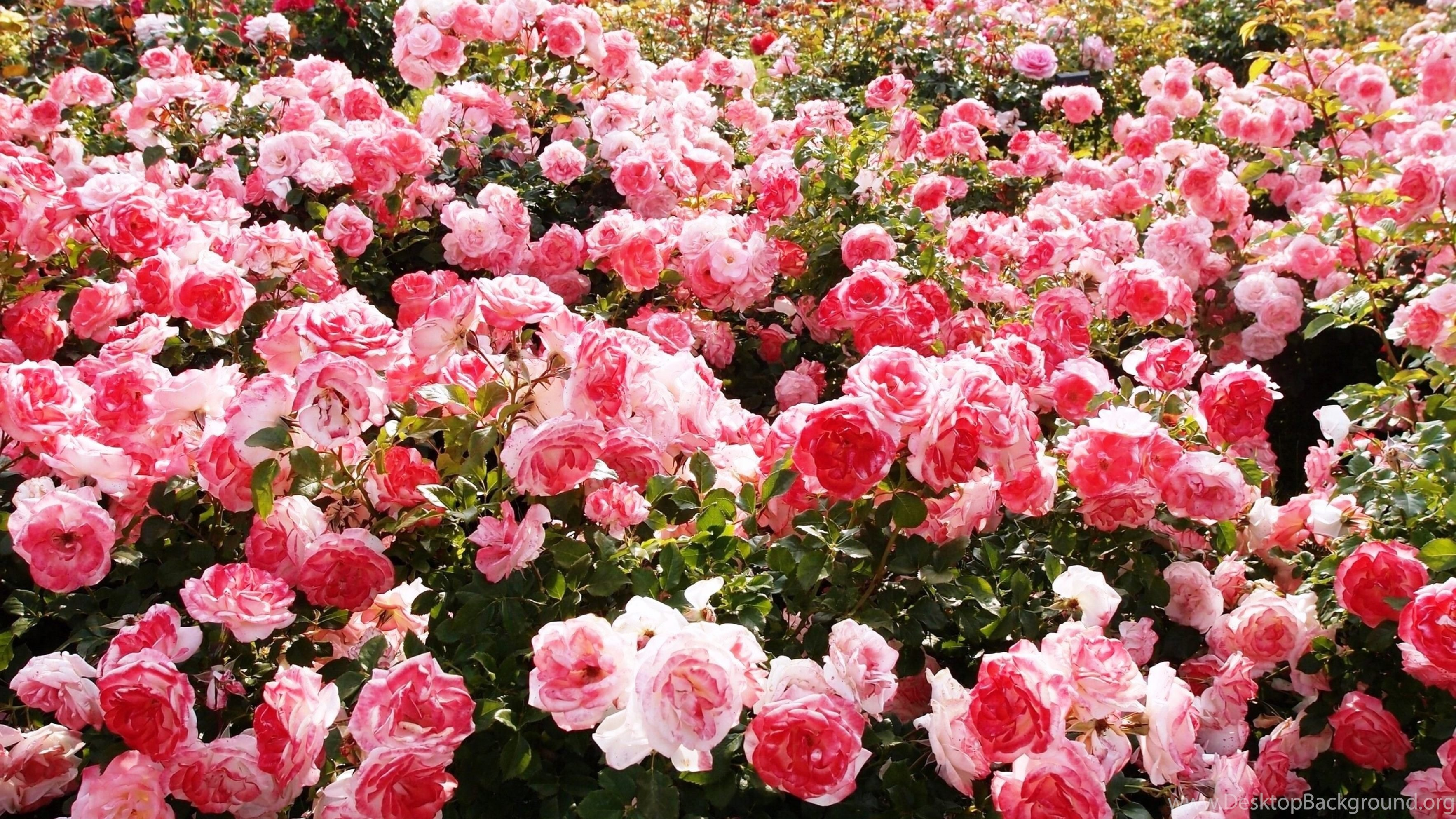rose garden wallpaper (51+ pictures)