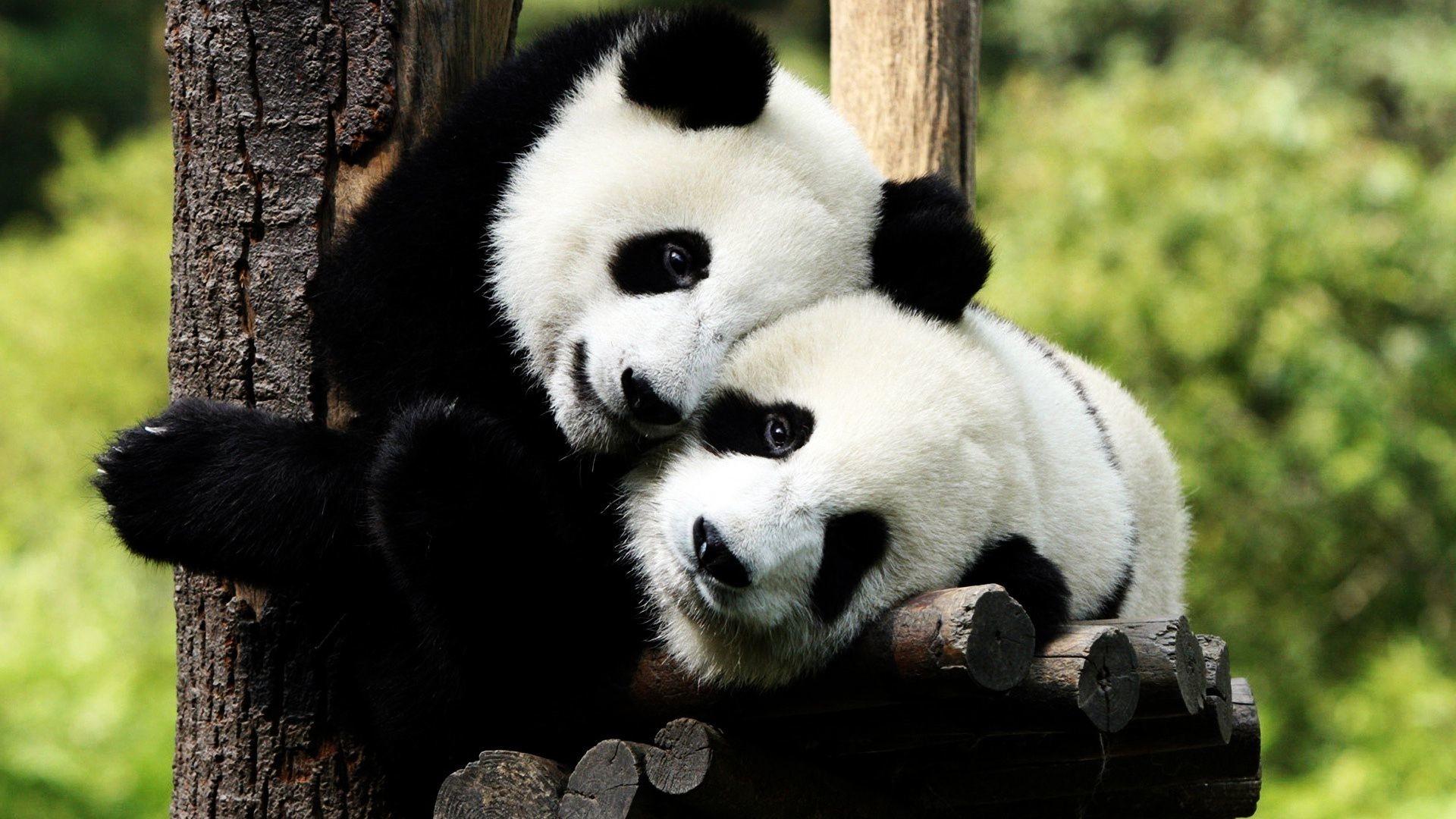 Wallpaper Cute Baby Panda Images Hd Gambarku