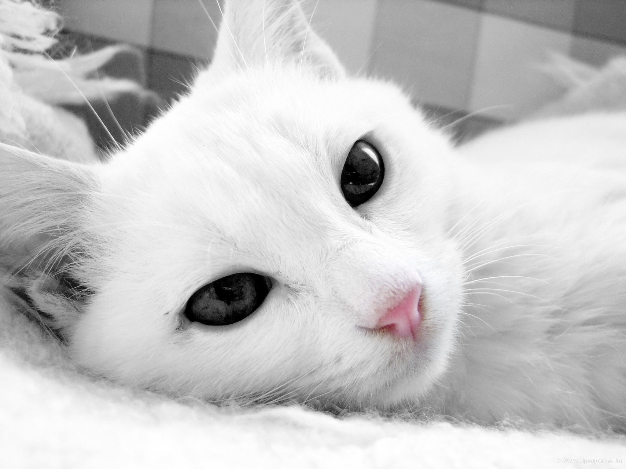 White Cats Wallpaper 76 Pictures