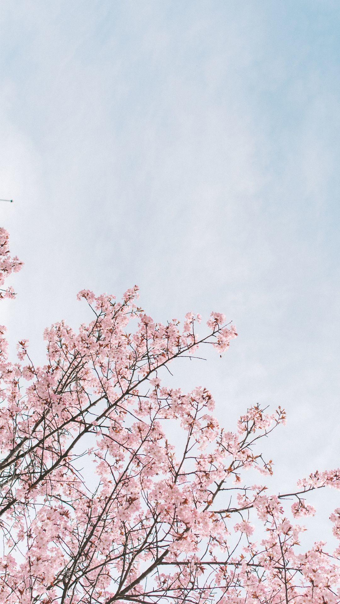 Anime Cherry Blossom Aesthetic Wallpaper