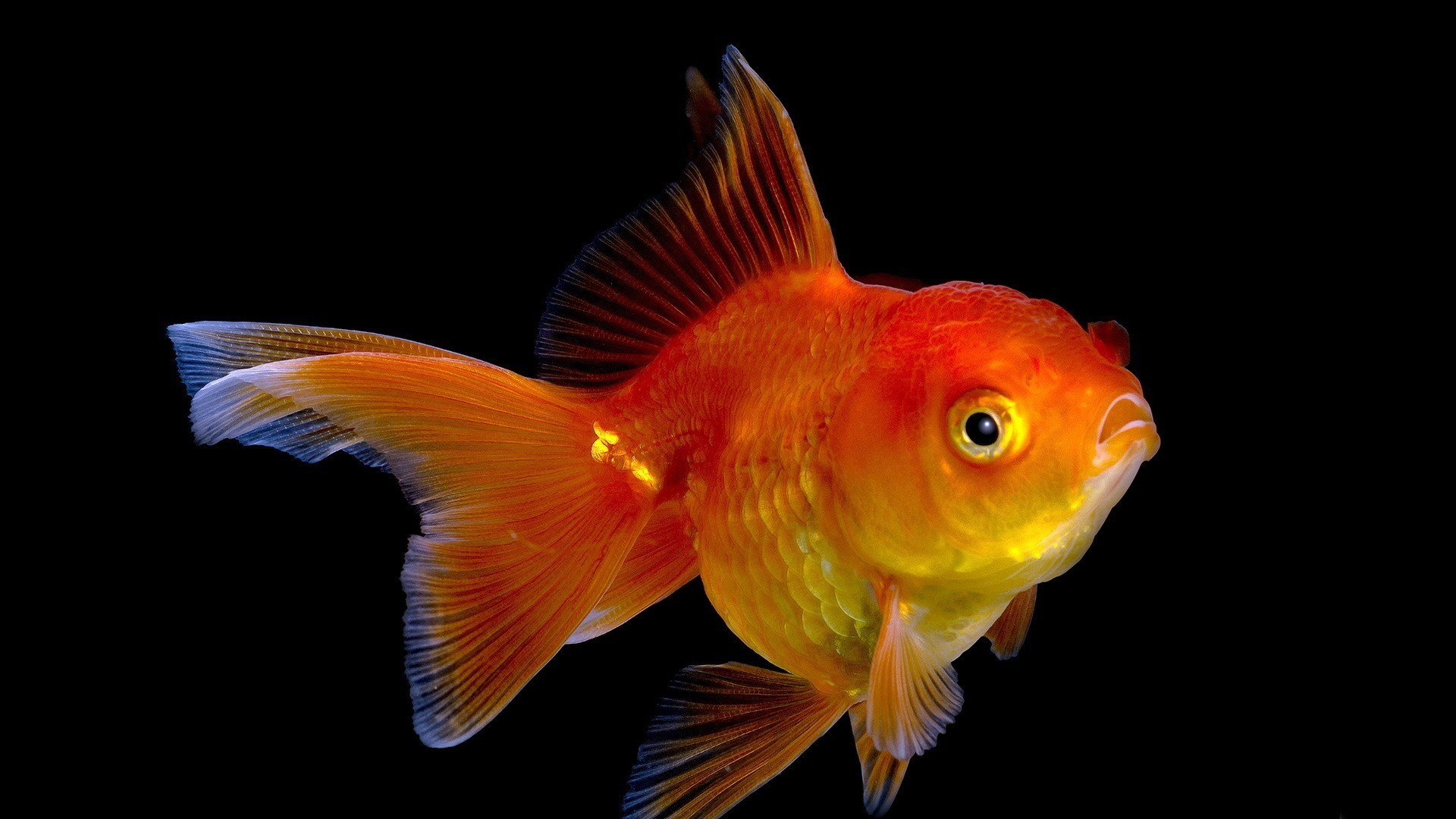 Gold Fish Wallpaper 67 Pictures