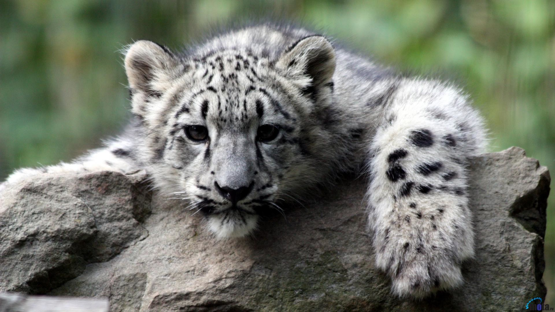 Snow Leopard Wallpapers Wallpaper