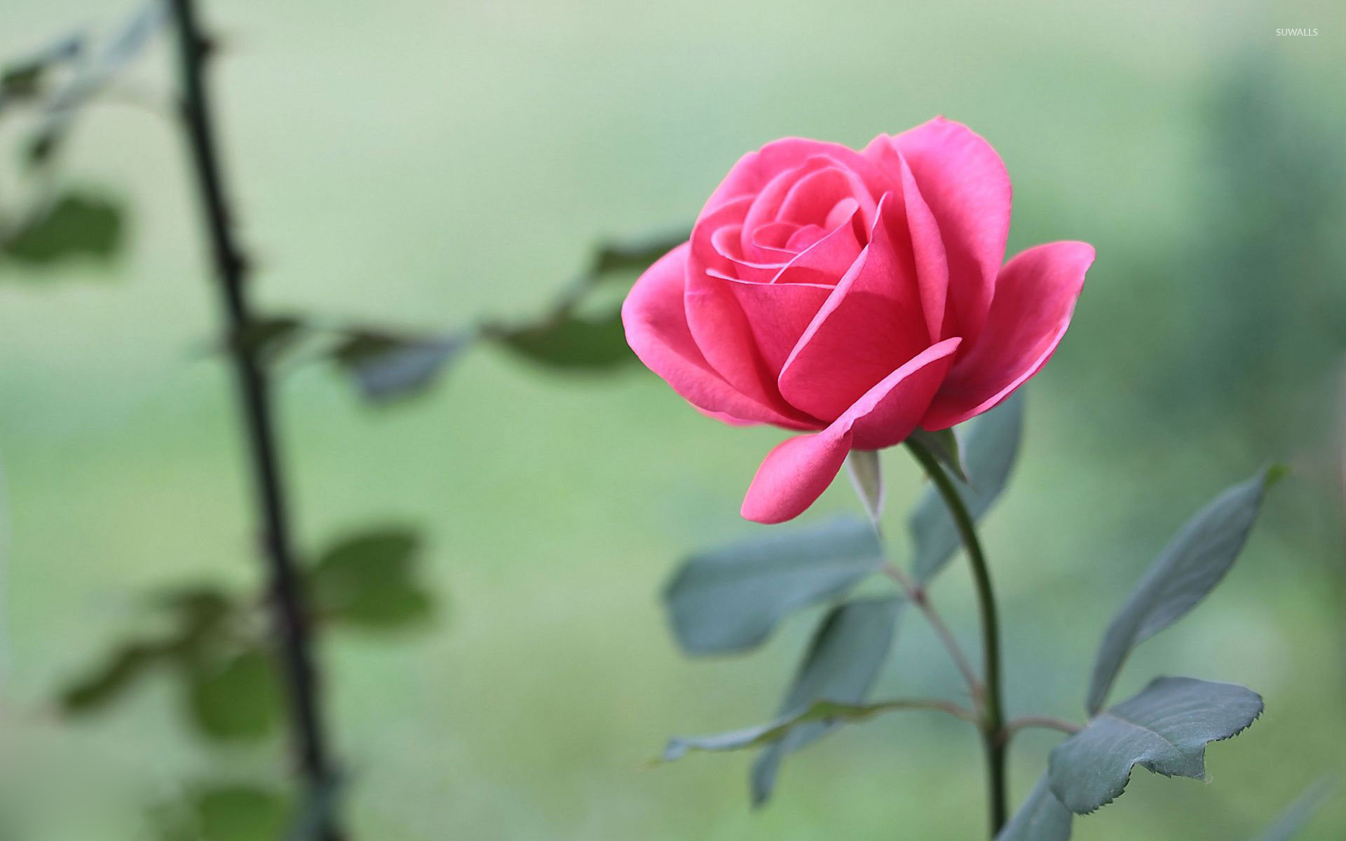 Pink Rose Wallpapers 69 Pictures