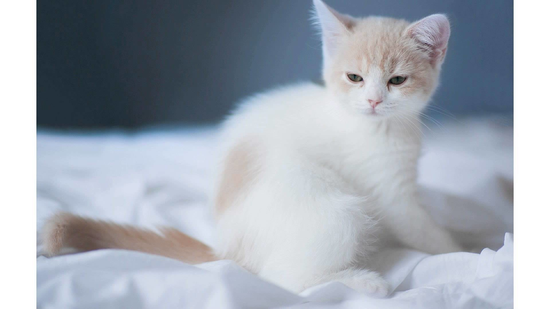 White Cat Wallpaper 73 Pictures