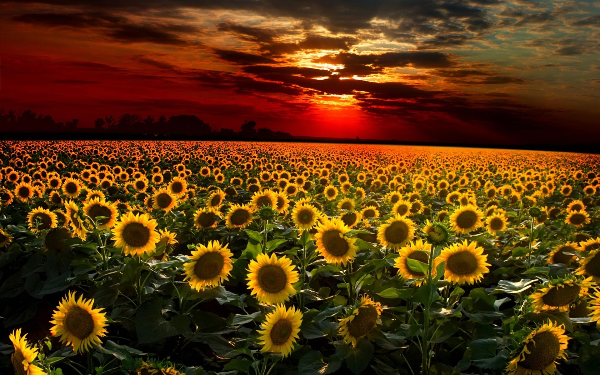 sunflower wallpaper desktop (67+ pictures)