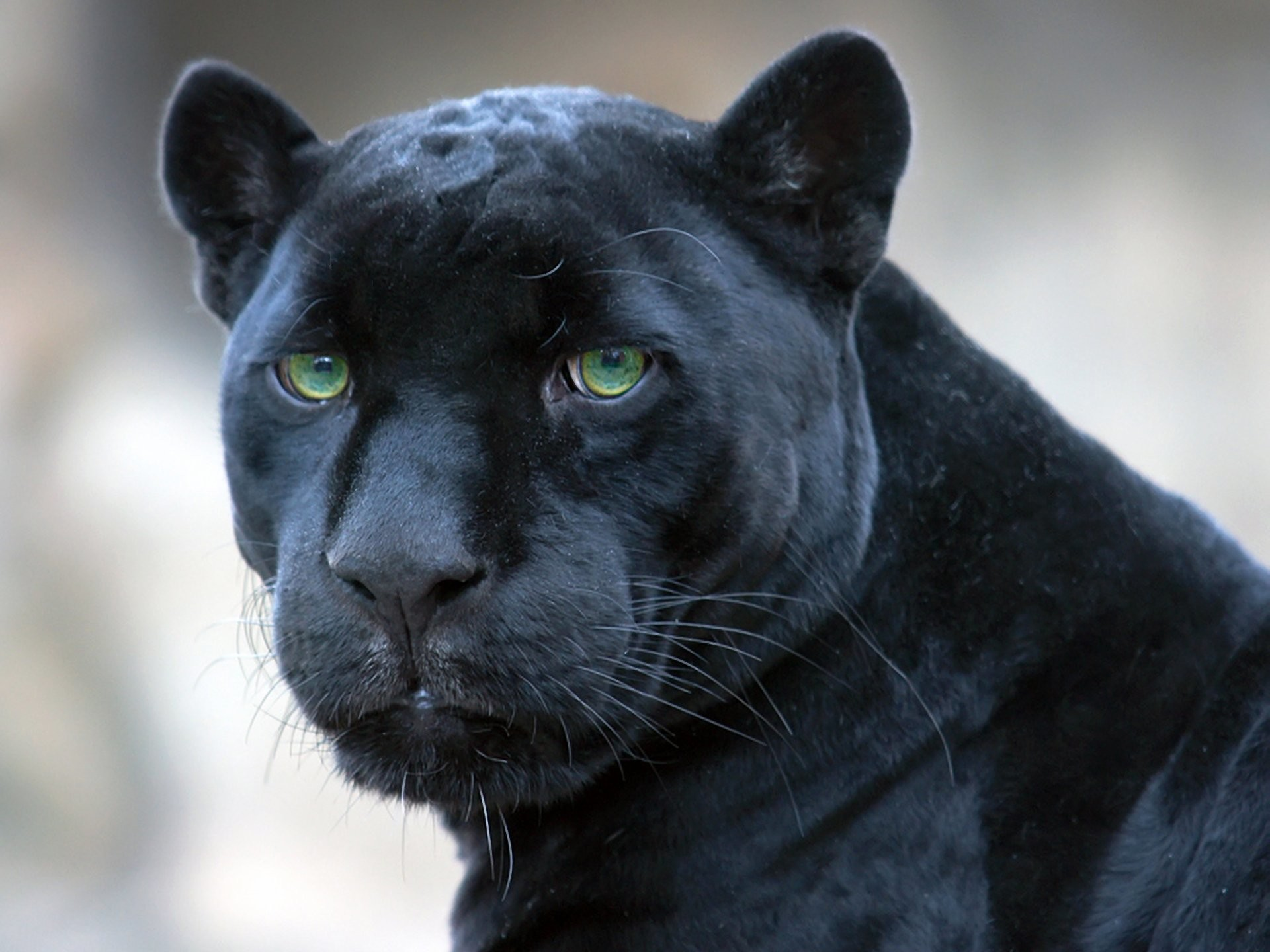 black jaguar wallpaper (62+ pictures)