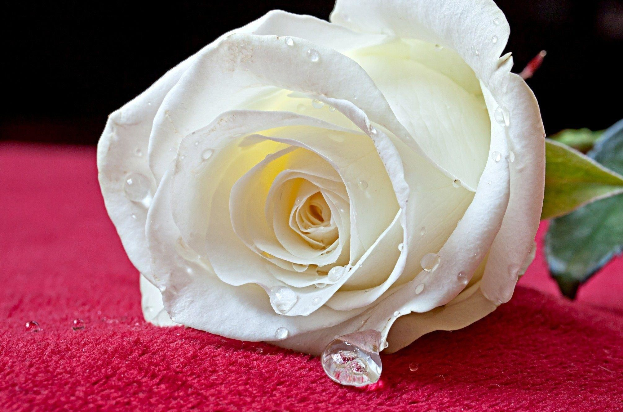 White Rose Wallpapers 67 Pictures