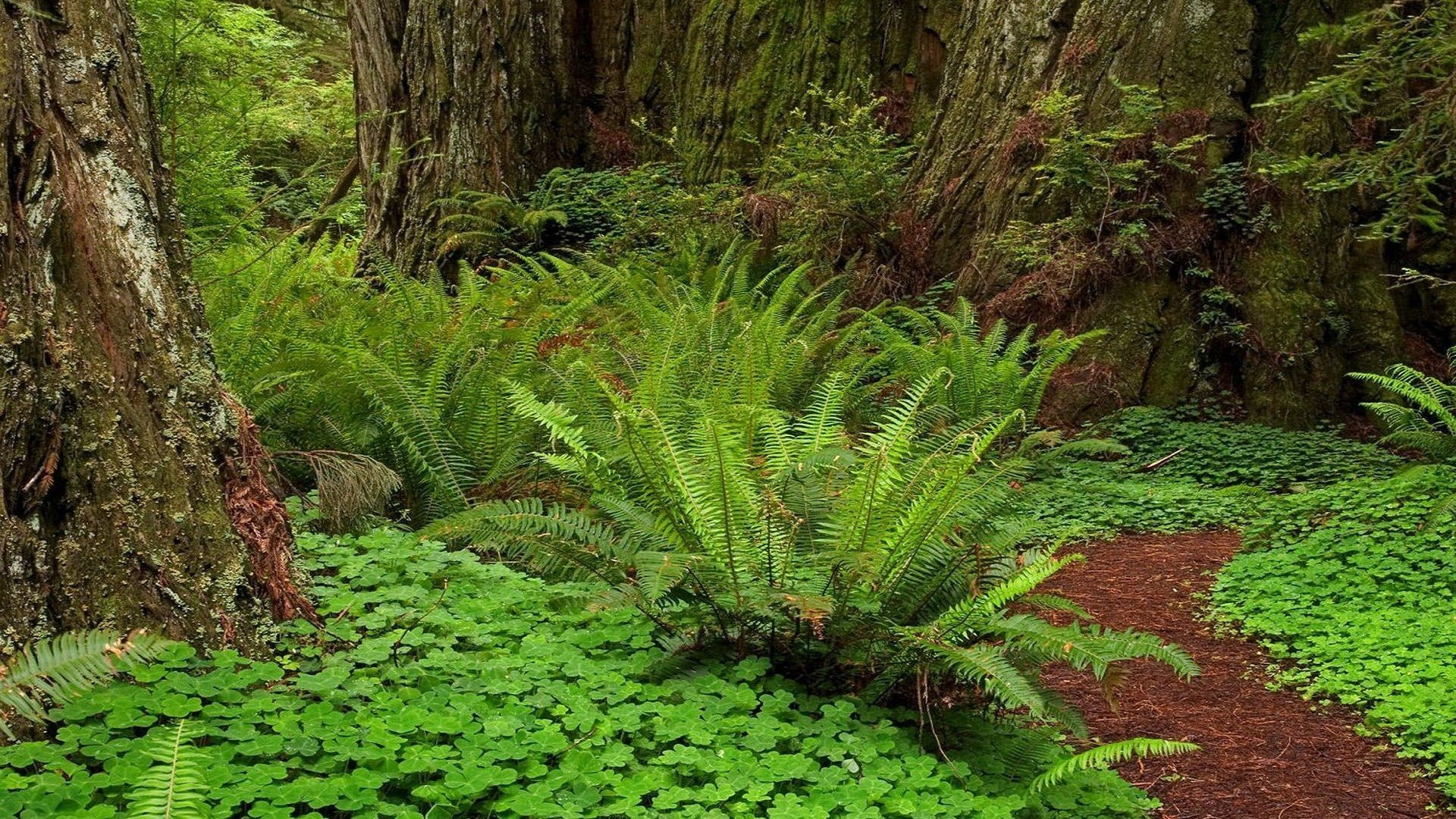 Redwood Forest Wallpaper 61 Pictures