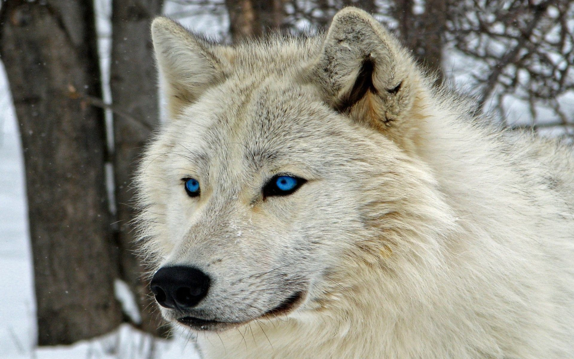 Baby Wolves Wallpapers 62 Pictures