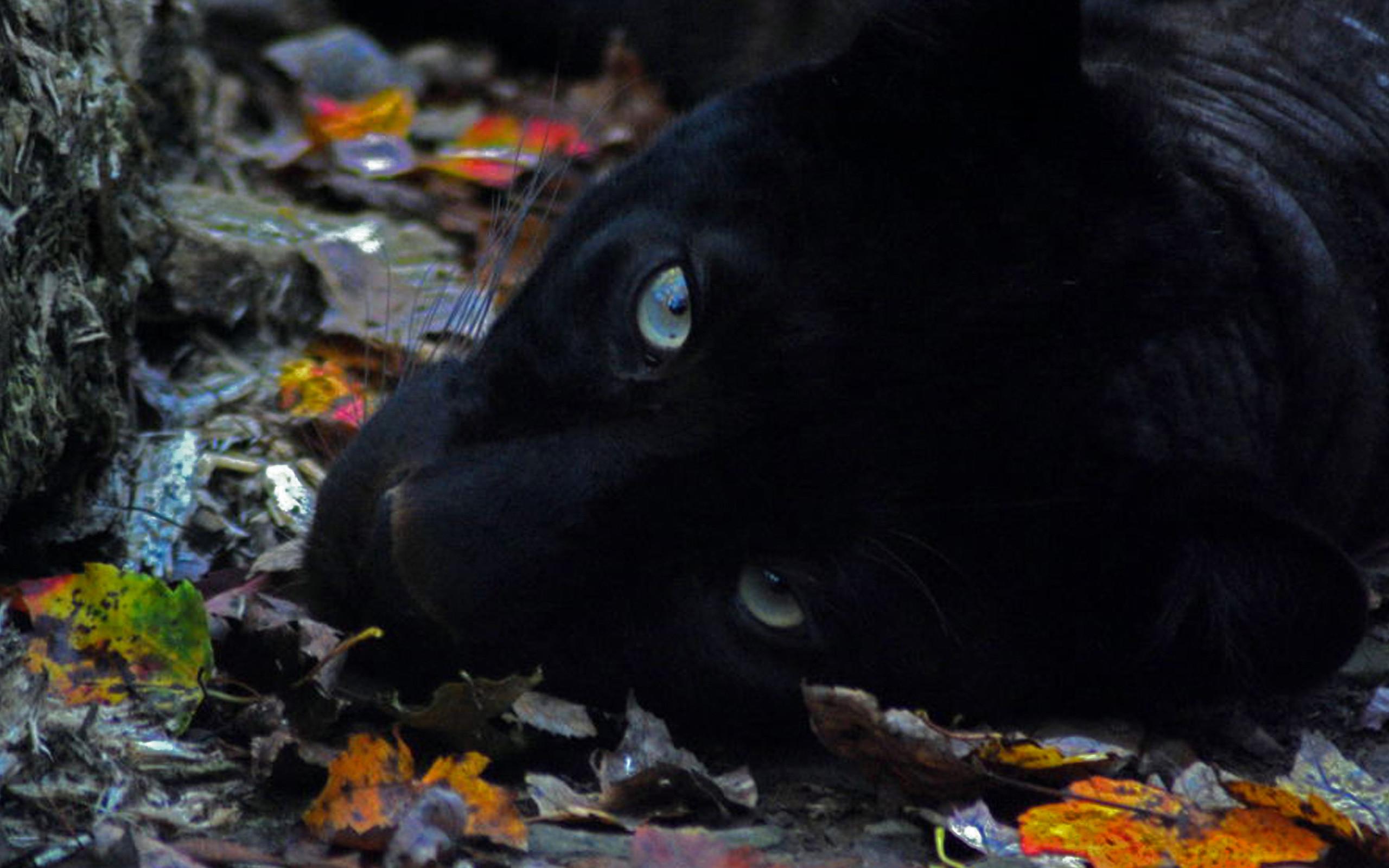 Black jaguar wallpaper 62 pictures black panther hd 3840x2160 voltagebd Images