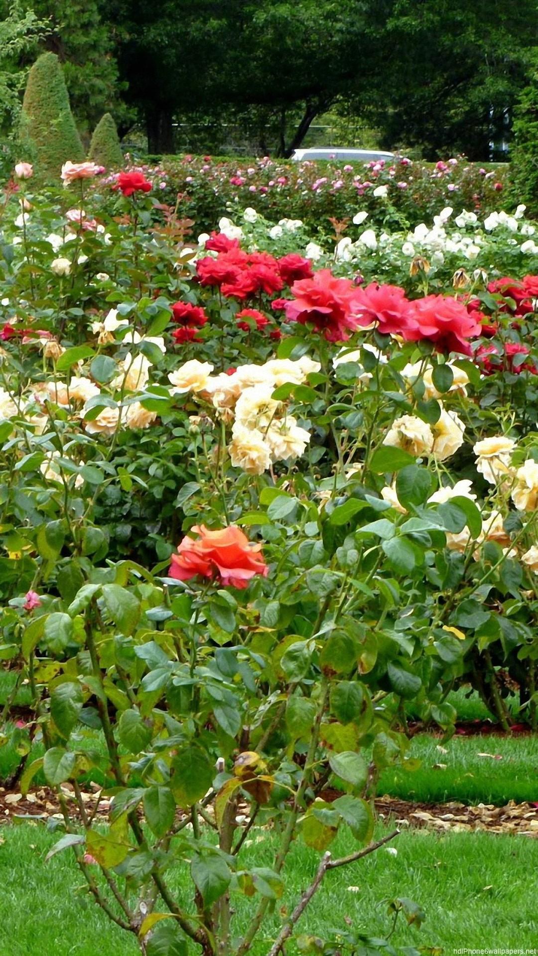Rose Garden Wallpaper 51 Pictures