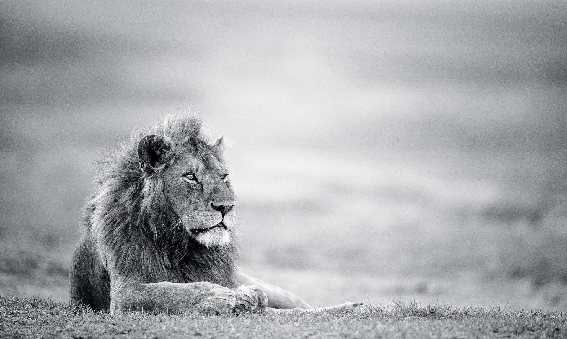 White Lion Wallpapers 63 Pictures