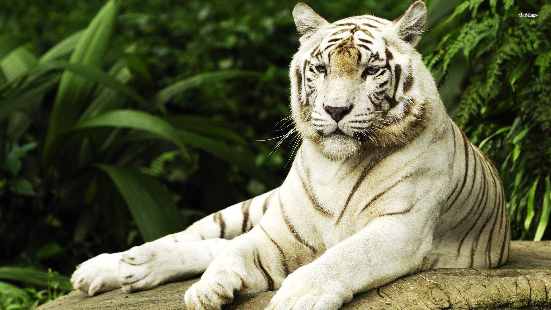 White Tiger Wallpaper 63 Pictures