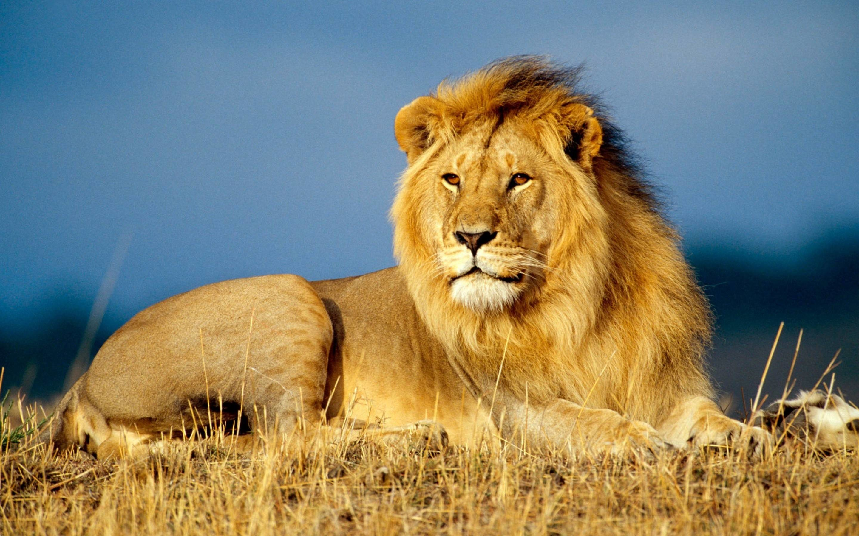 Lion Desktop Backgrounds 73 Pictures