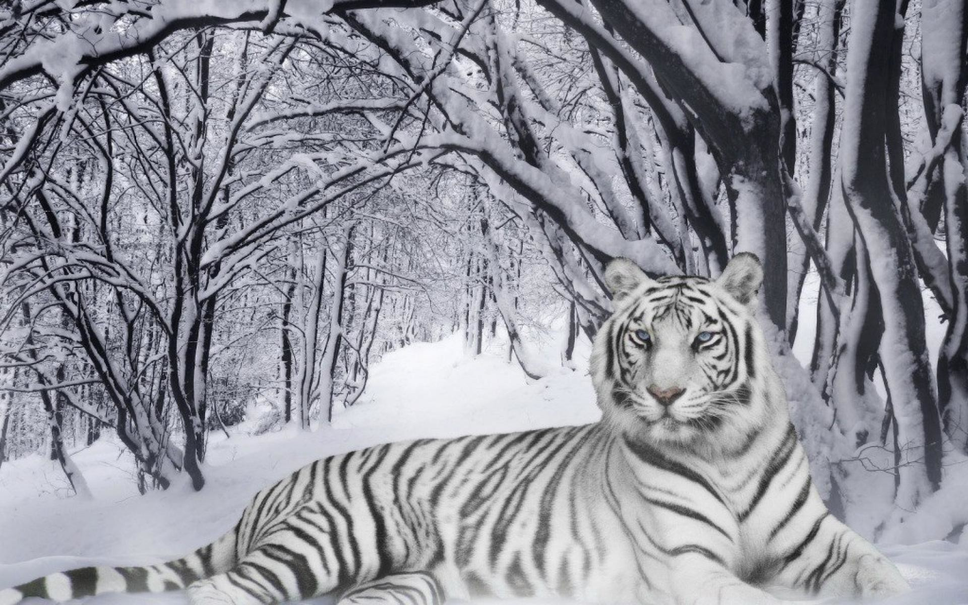 white tiger wallpaper (63+ pictures)