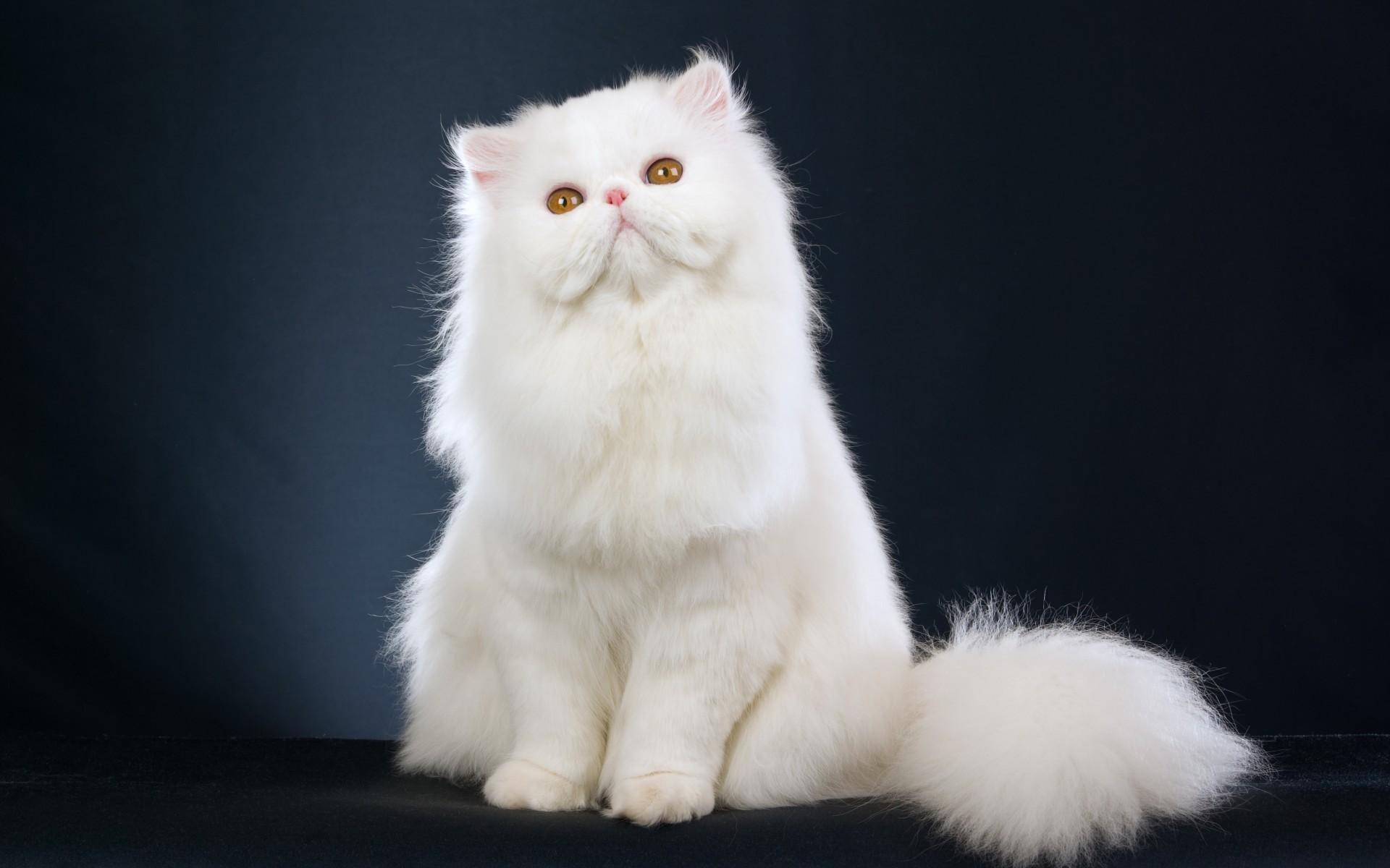 Persian Cat 1920x1200