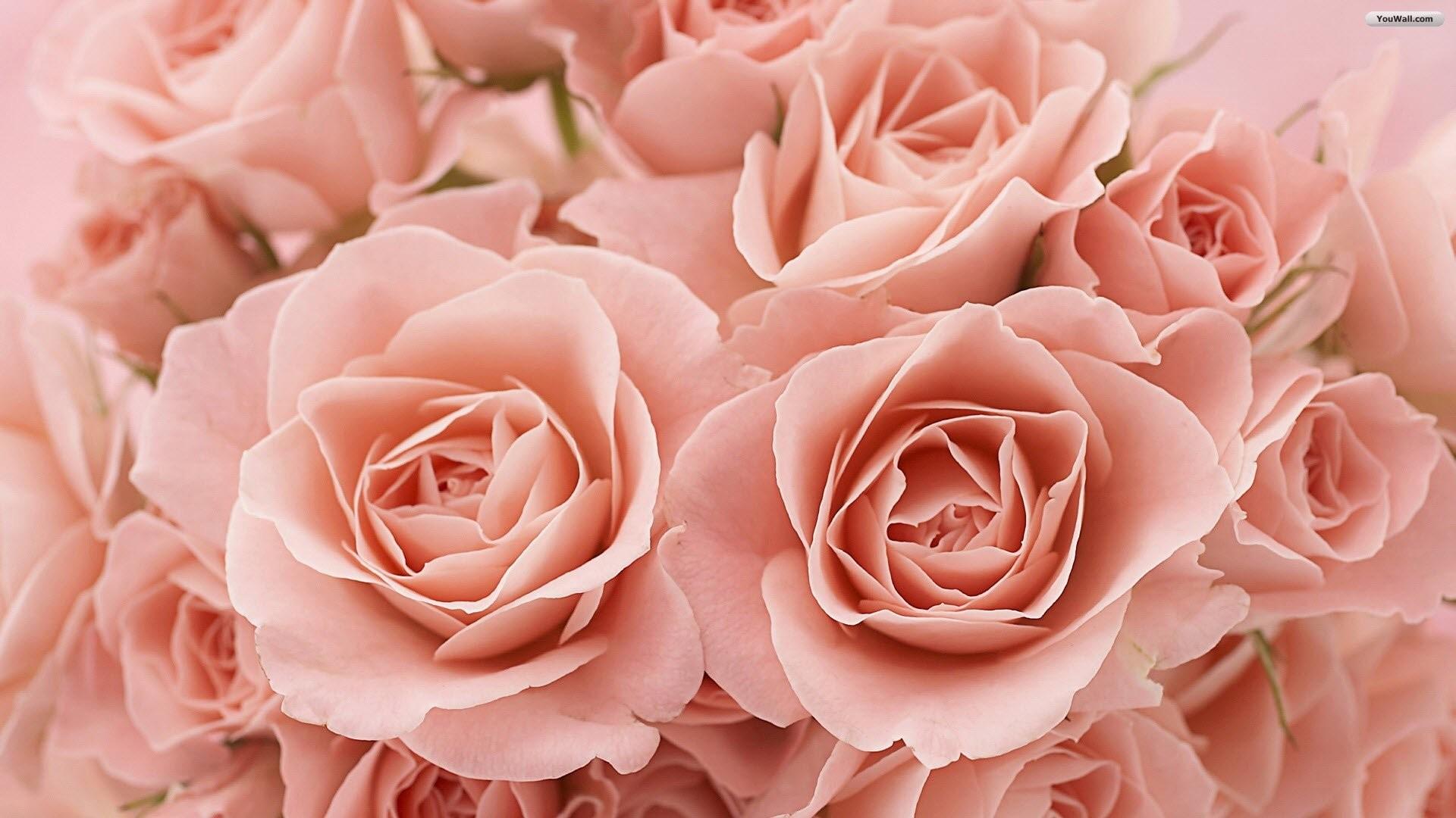 Rose Desktop Wallpapers 52 Pictures
