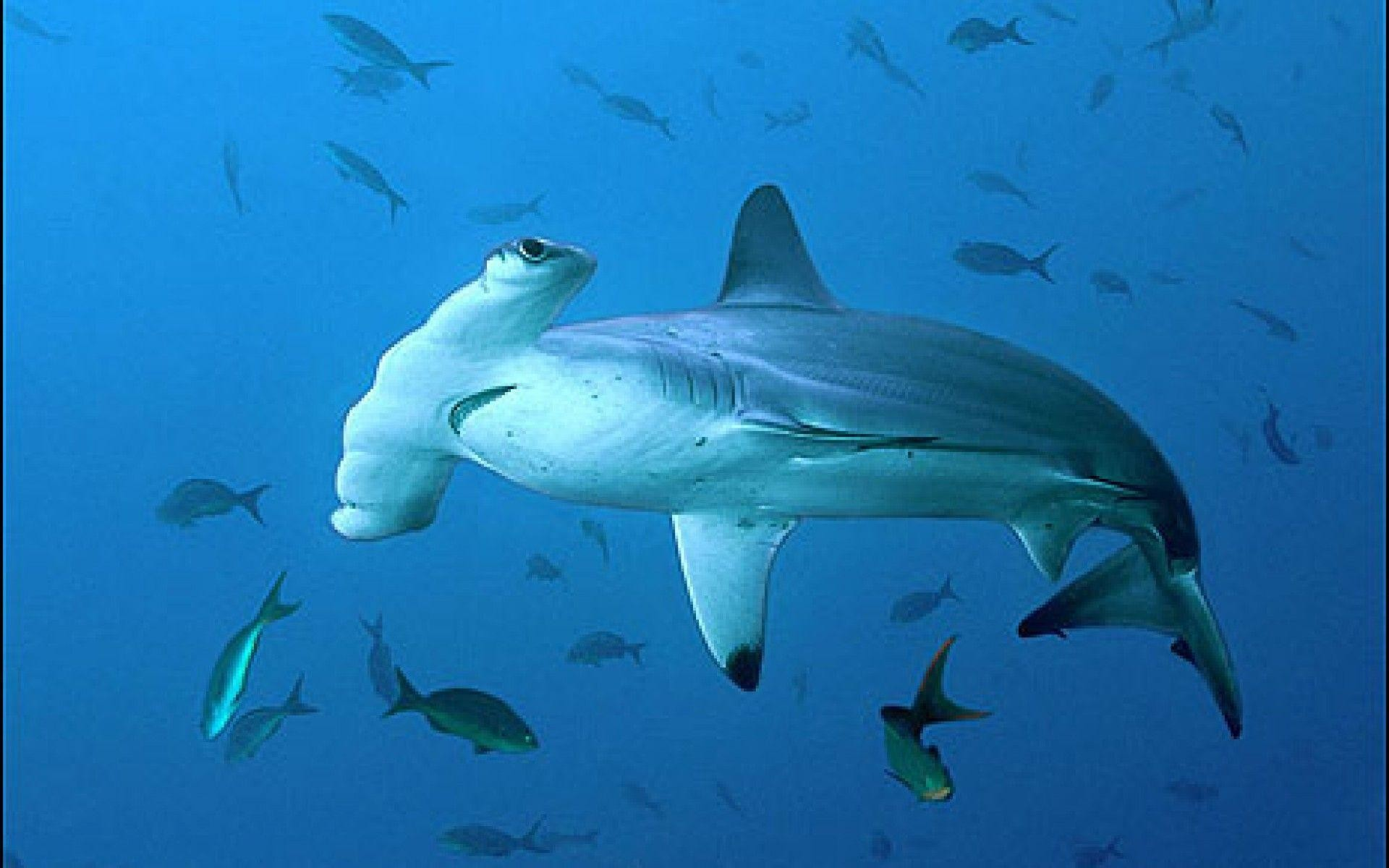 Hammerhead Sharks Wallpapers (58+ pictures)