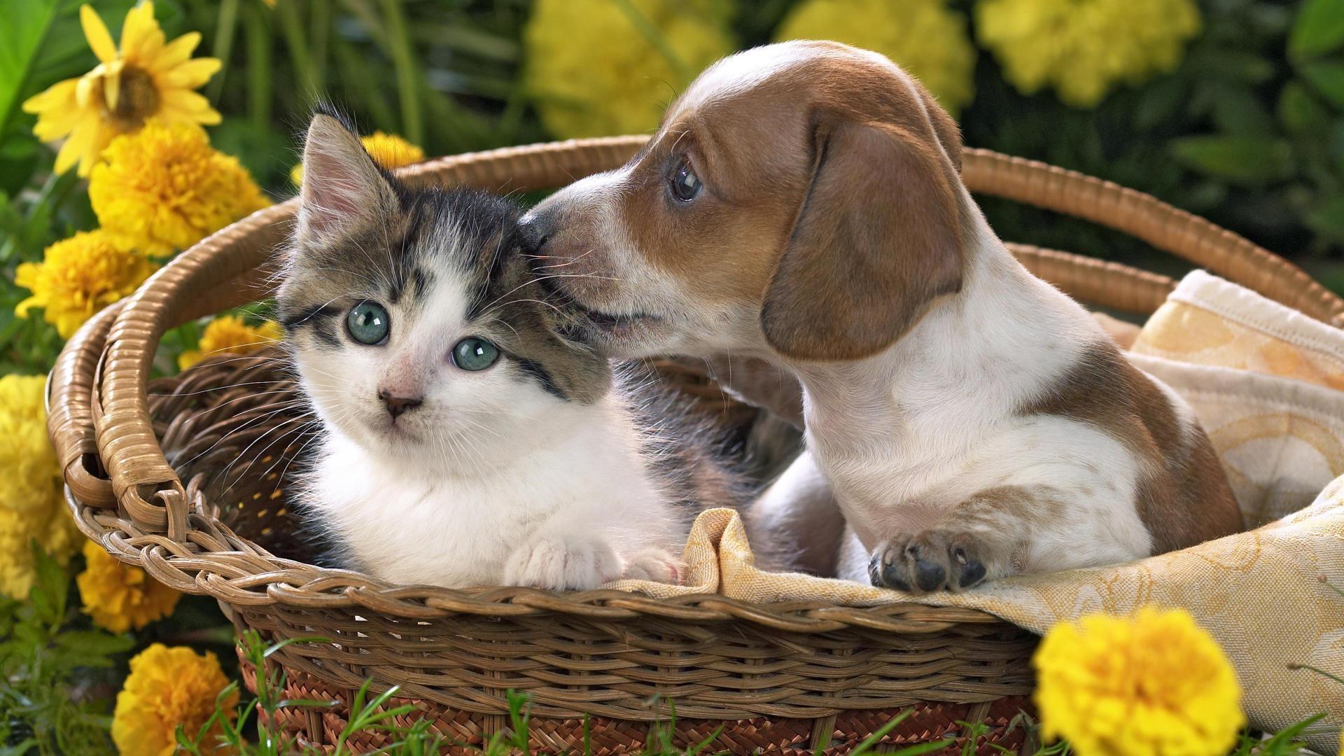 Kitten And Puppy Wallpaper  X