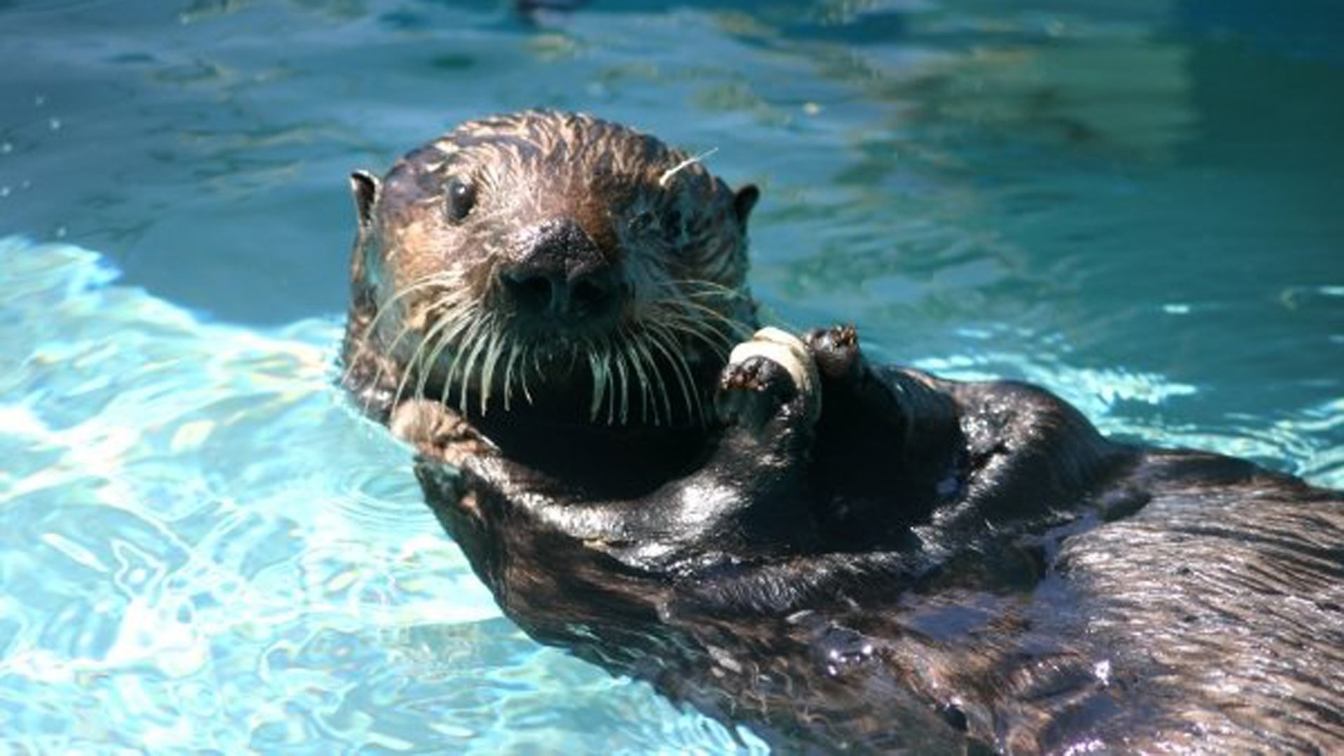 Sea Otter Wallpaper 55 Pictures
