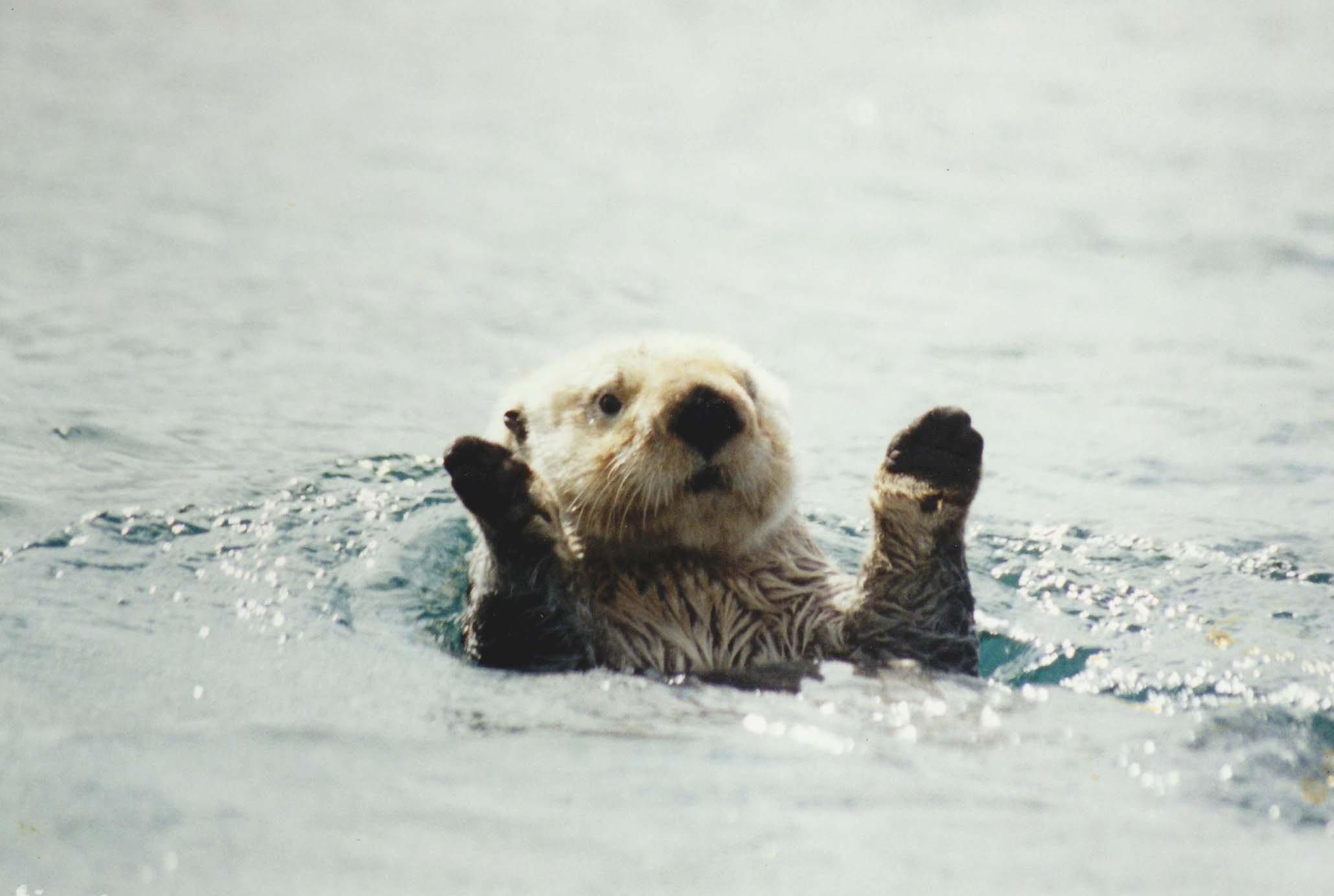 23+ Otter Wallpaper Cute Pics