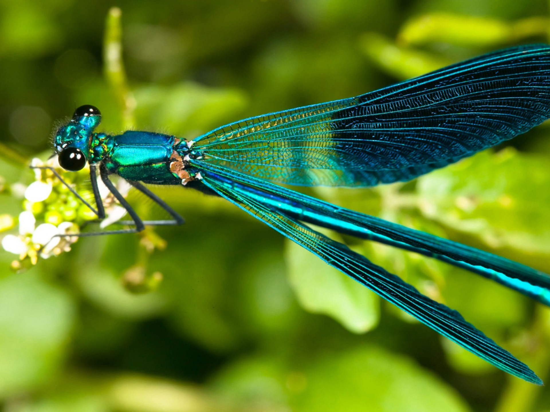 Best DragonfliesPamirian images Dragonflies Dragon flies uk